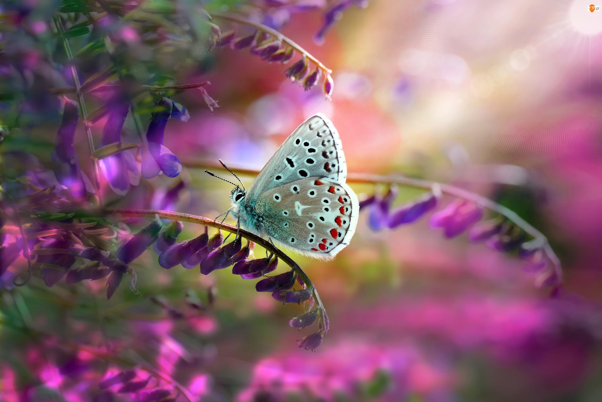 Kwiaty, Motyl, Modraszek ikar