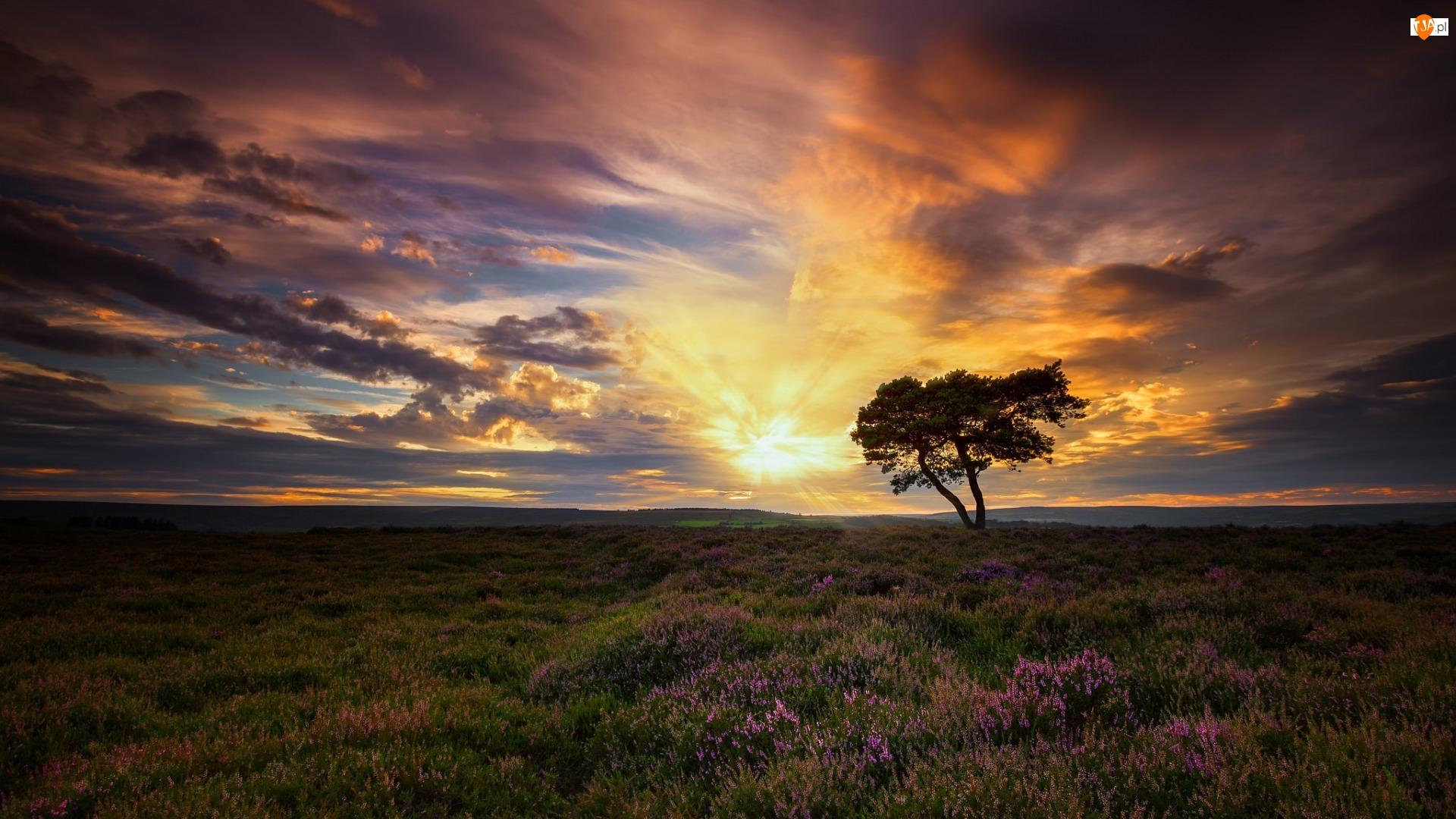 Zachód słońca, Wrzosowisko, Hrabstwo North Yorkshire, Anglia, Chmury, Egton, Drzewo