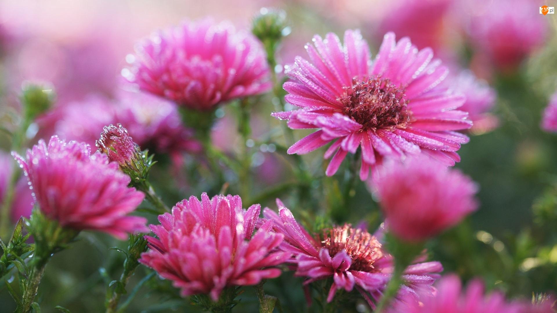 Szron, Kwiaty, Astry marcinki