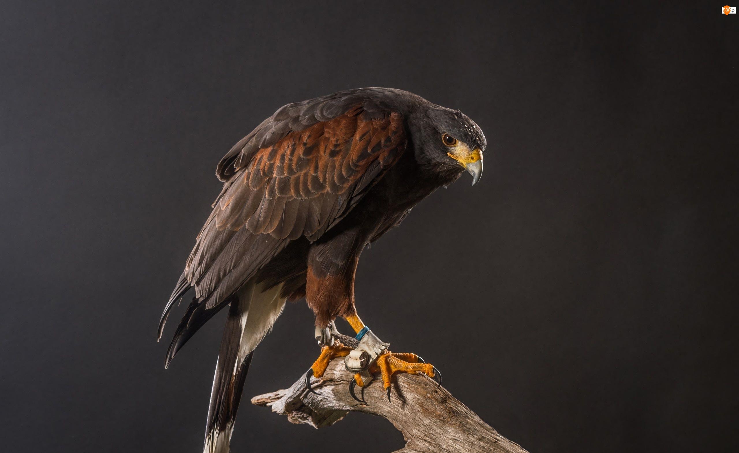 Myszołowiec rdzawoskrzydły, Potocznie - Jastrząb Harrisa