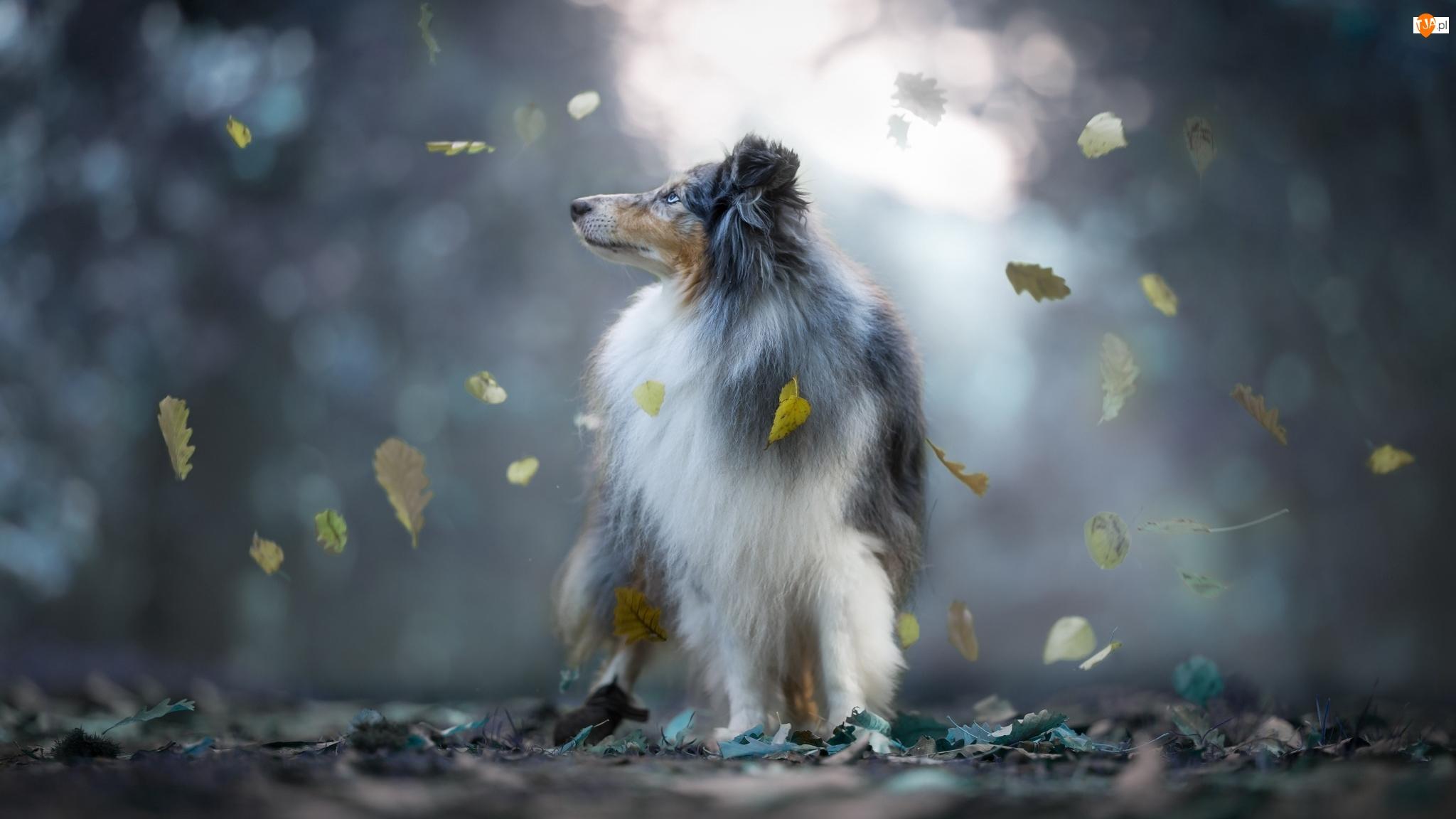 Liście, Pies, Owczarek szetlandzki