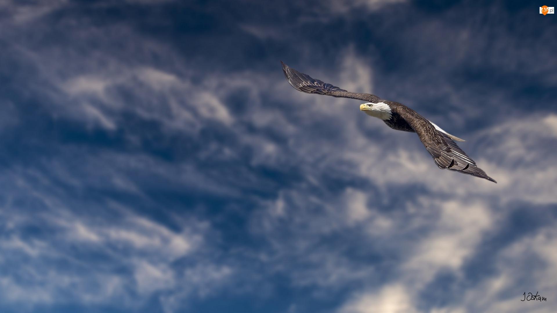 Ptak, Niebo, Bielik amerykański, Lot