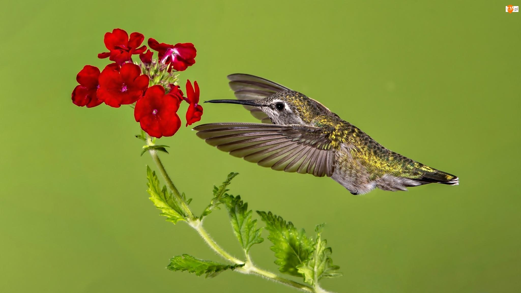 Czerwony, Koliber, Kwiat