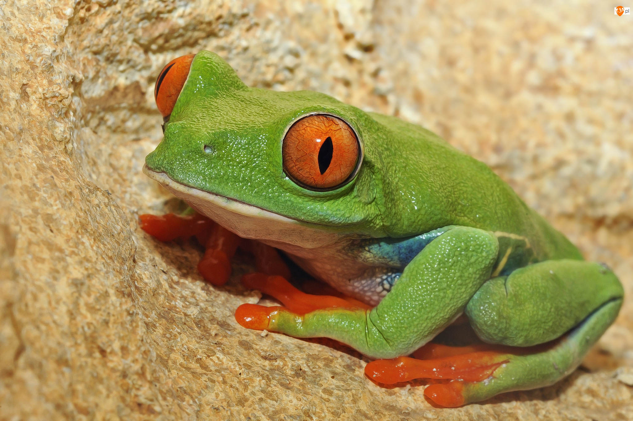 Chwytnica kolorowa, Zielona, Żaba
