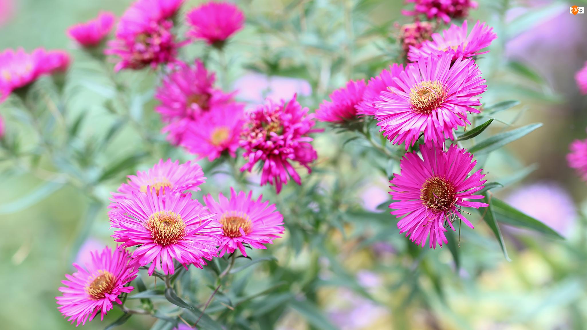 Astry, Kwiaty, Różowe