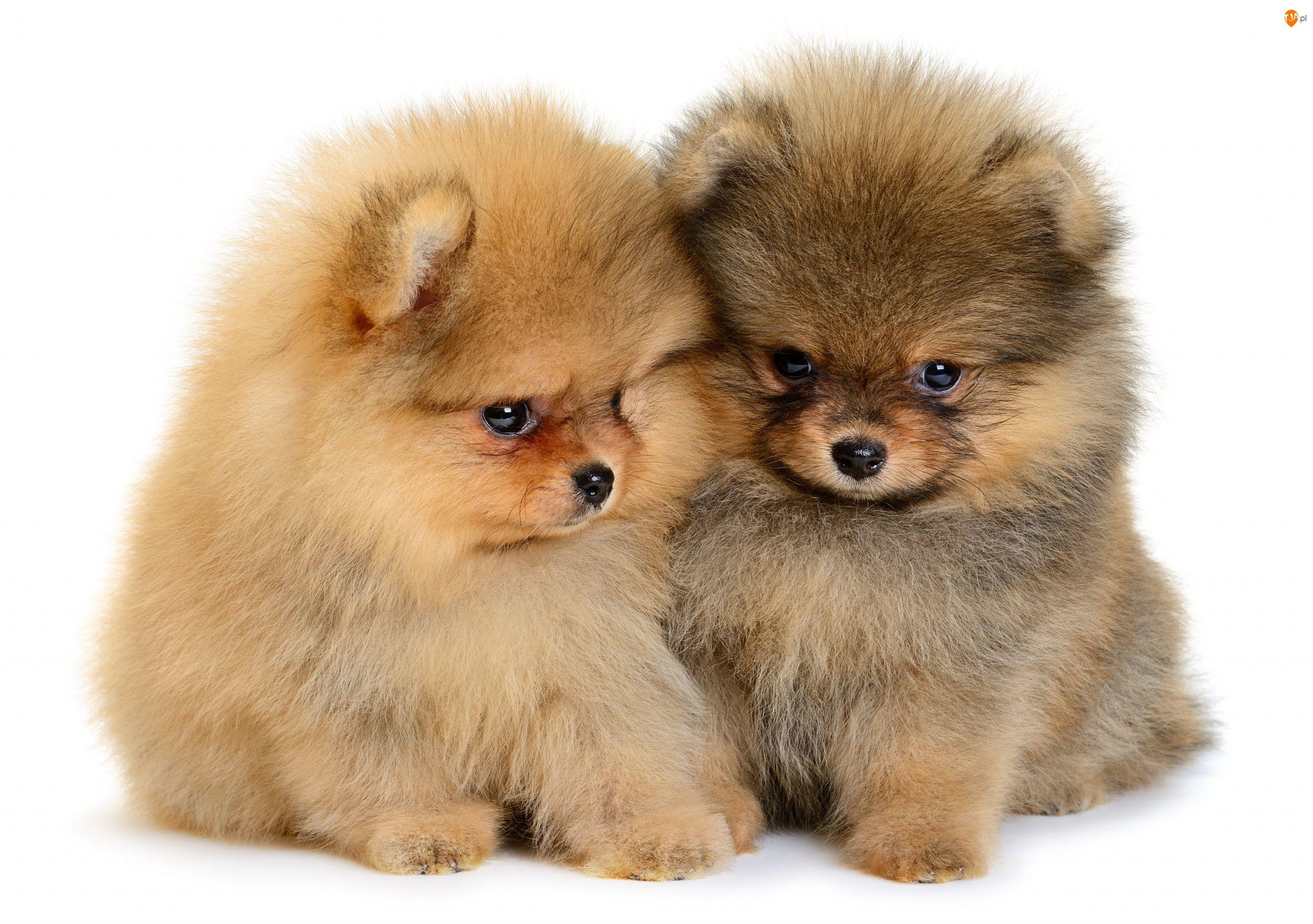 Szczeniaki, Dwa, Szpice miniaturowe, Psy, Pomeraniany