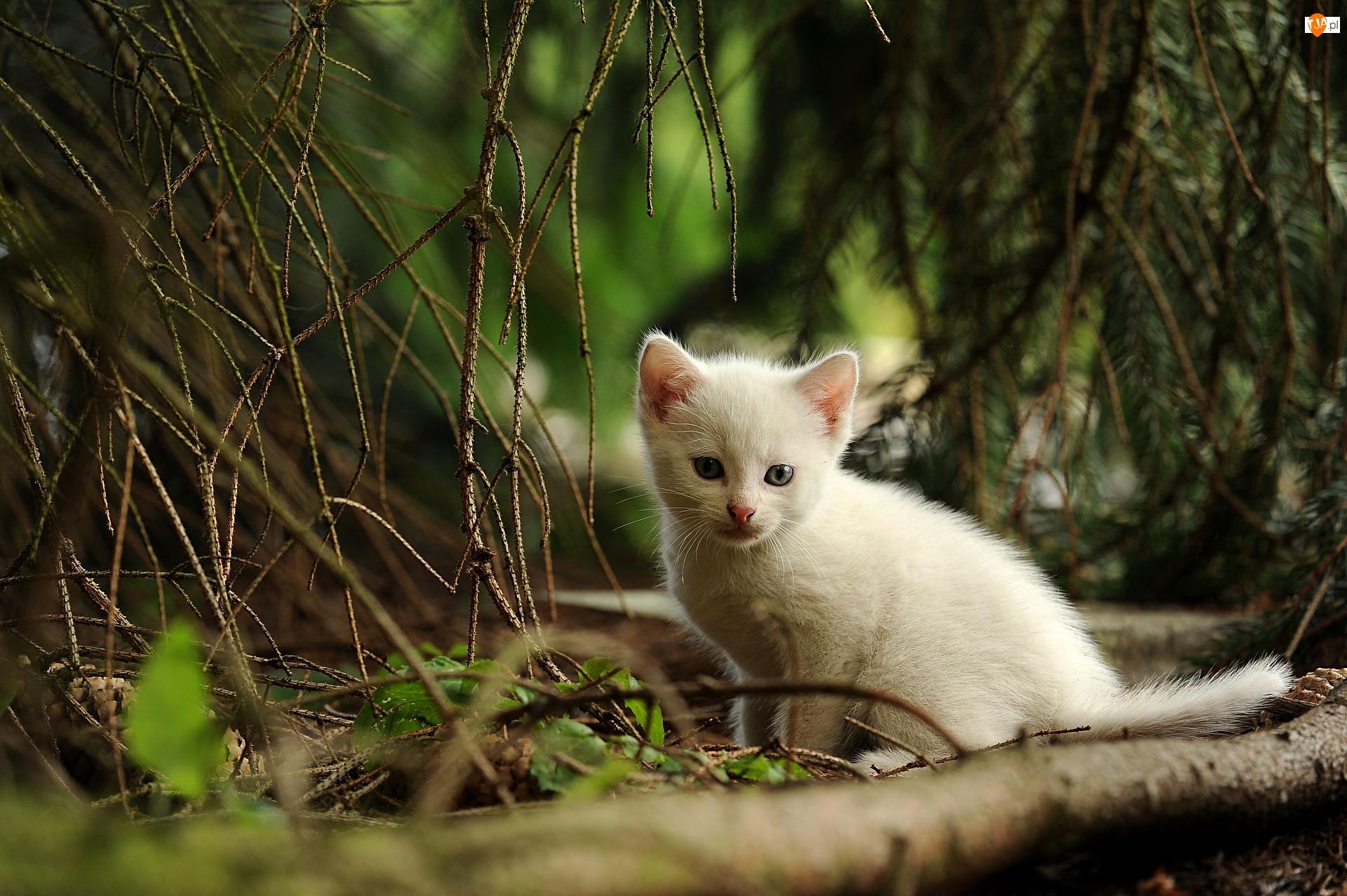 Las, Biały, Kot