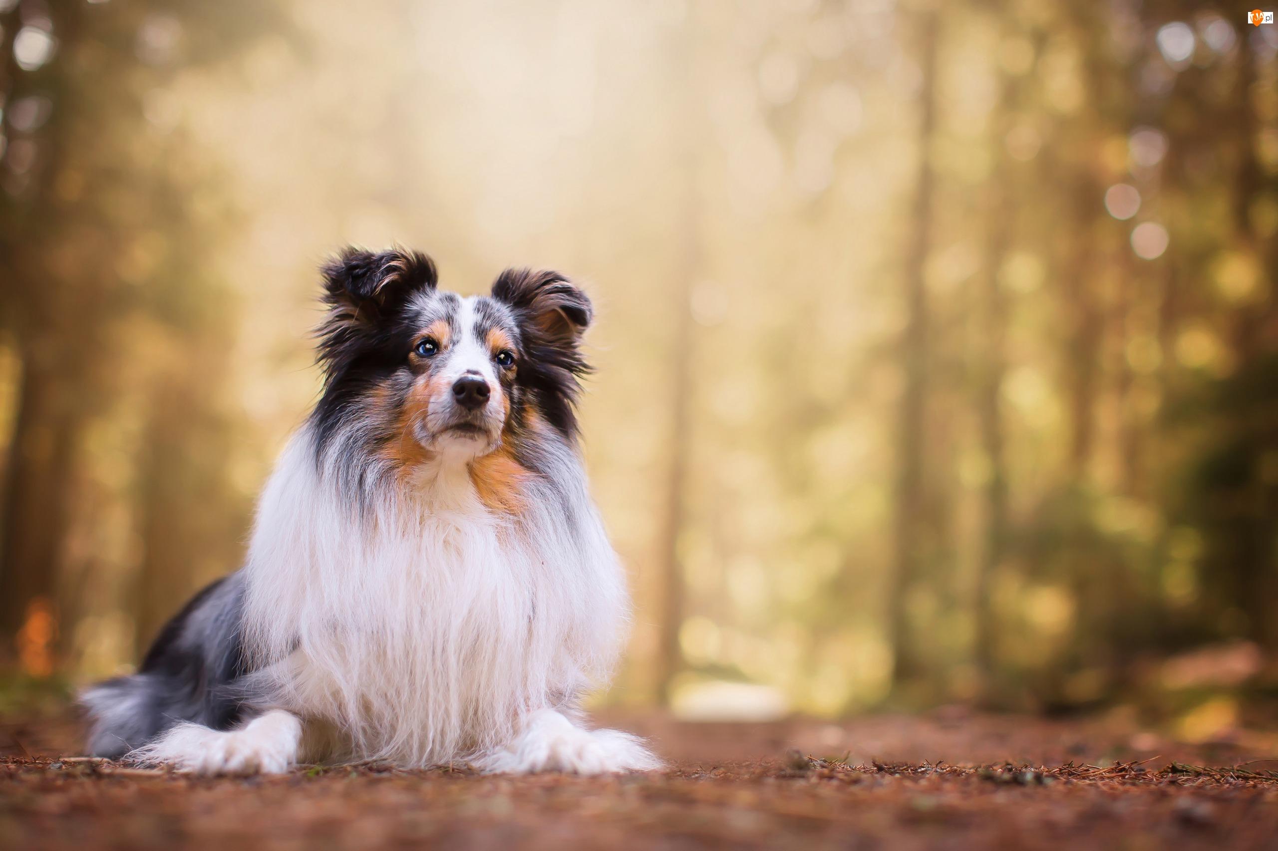 Owczarek szetlandzki, Pies, Leżący