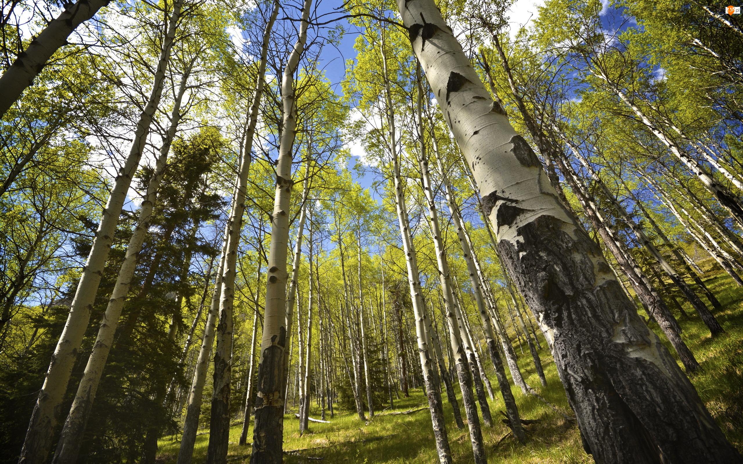 Topole osikowe, Las, Drzewa