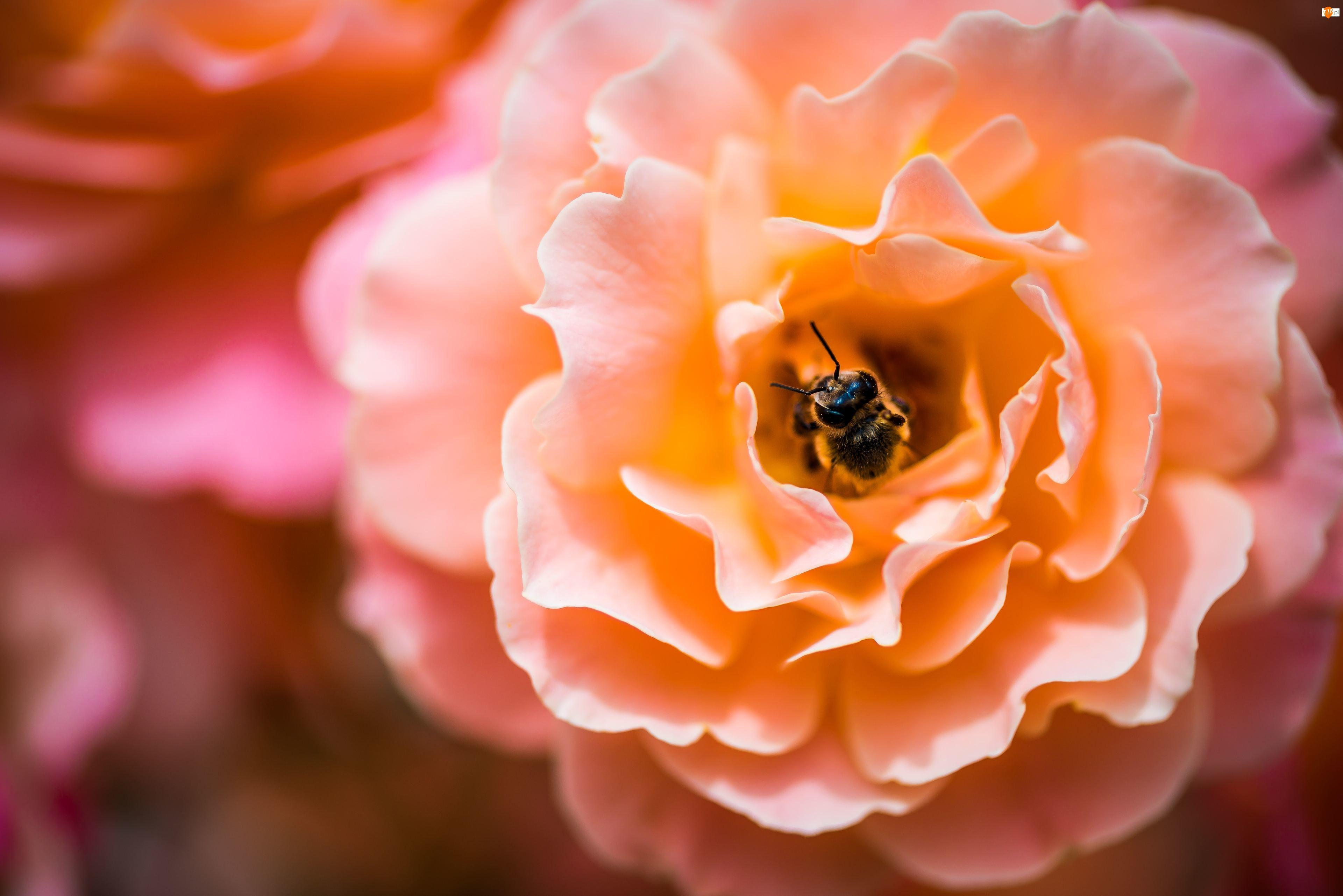 Pszczoła, Kwiat, Róża