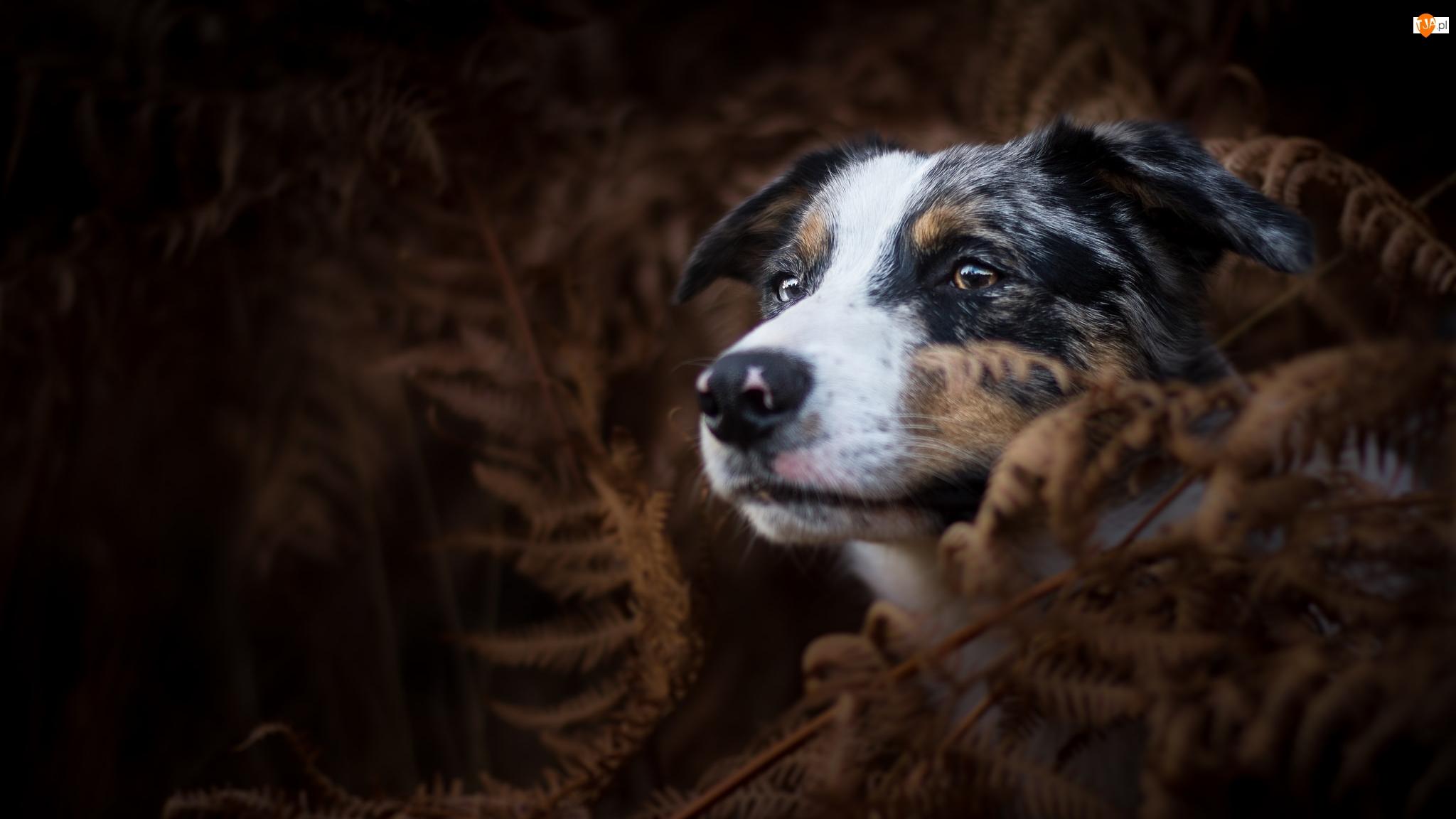 Pies, Ciemne tło, Owczarek australijski, Paprocie