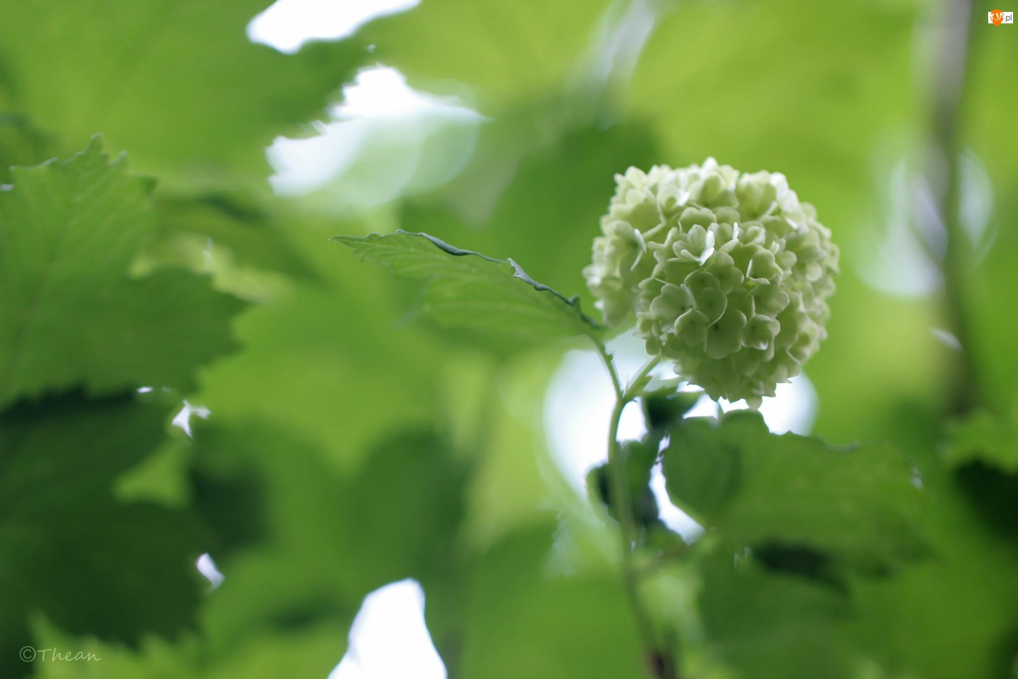 Krzew, Liście, Kalina, Kwiaty