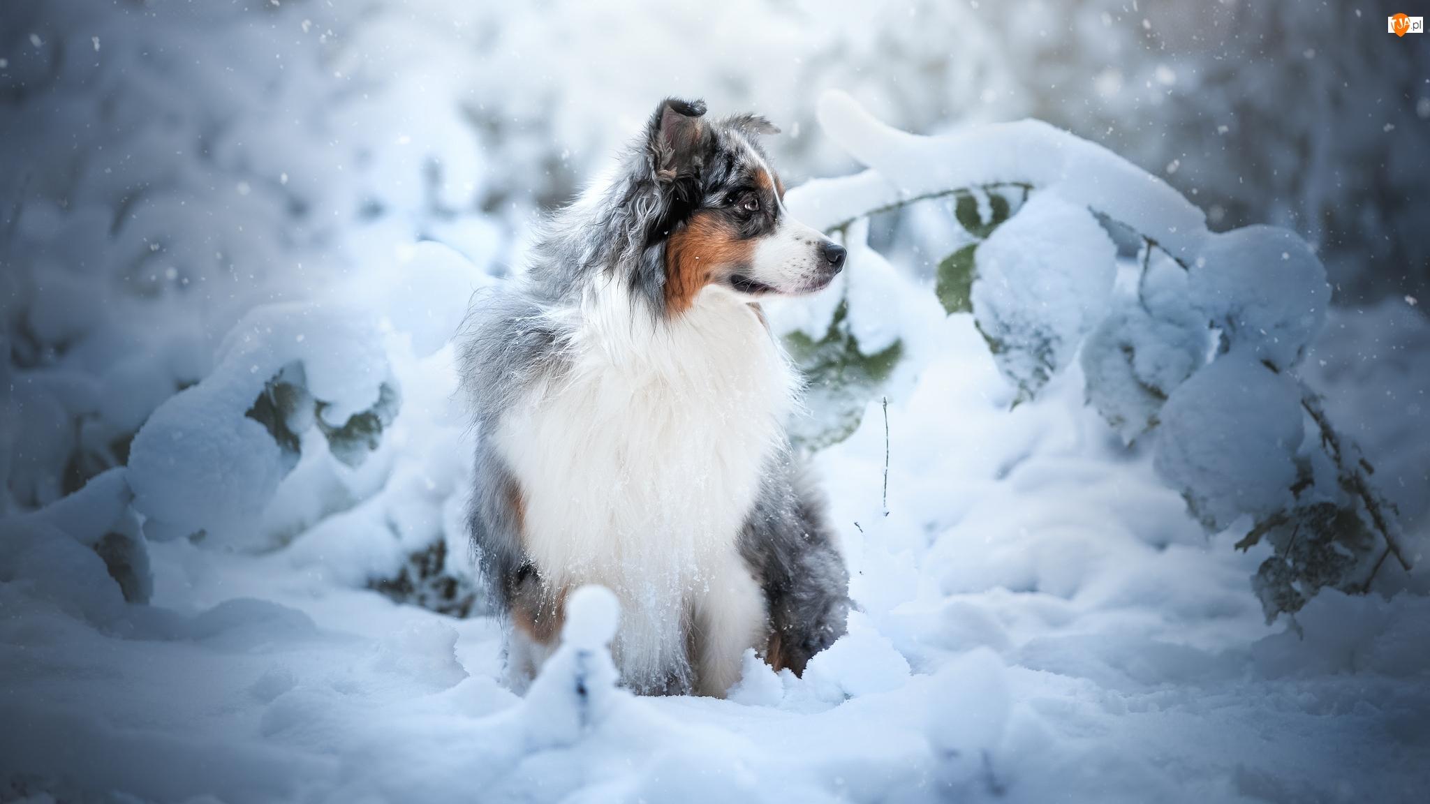 Zima, Pies, Rośliny, Owczarek australijski, Śnieg