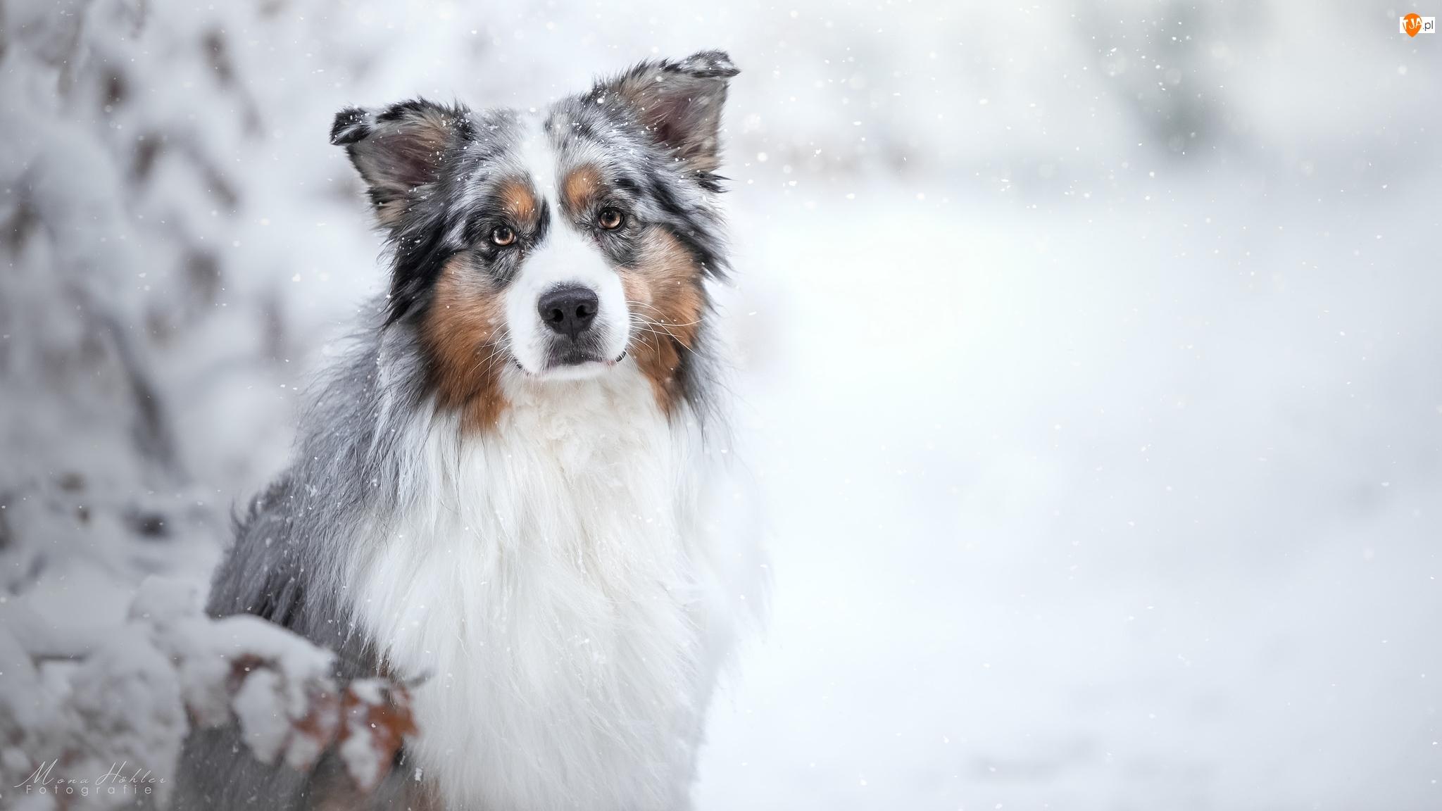 Śnieg, Pies, Owczarek australijski