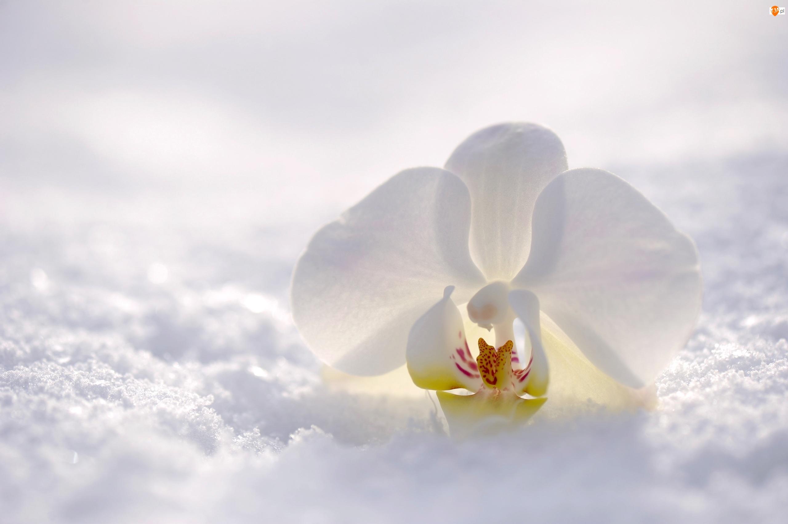 Orchidea, Śnieg, Kwiat, Biały, Storczyk