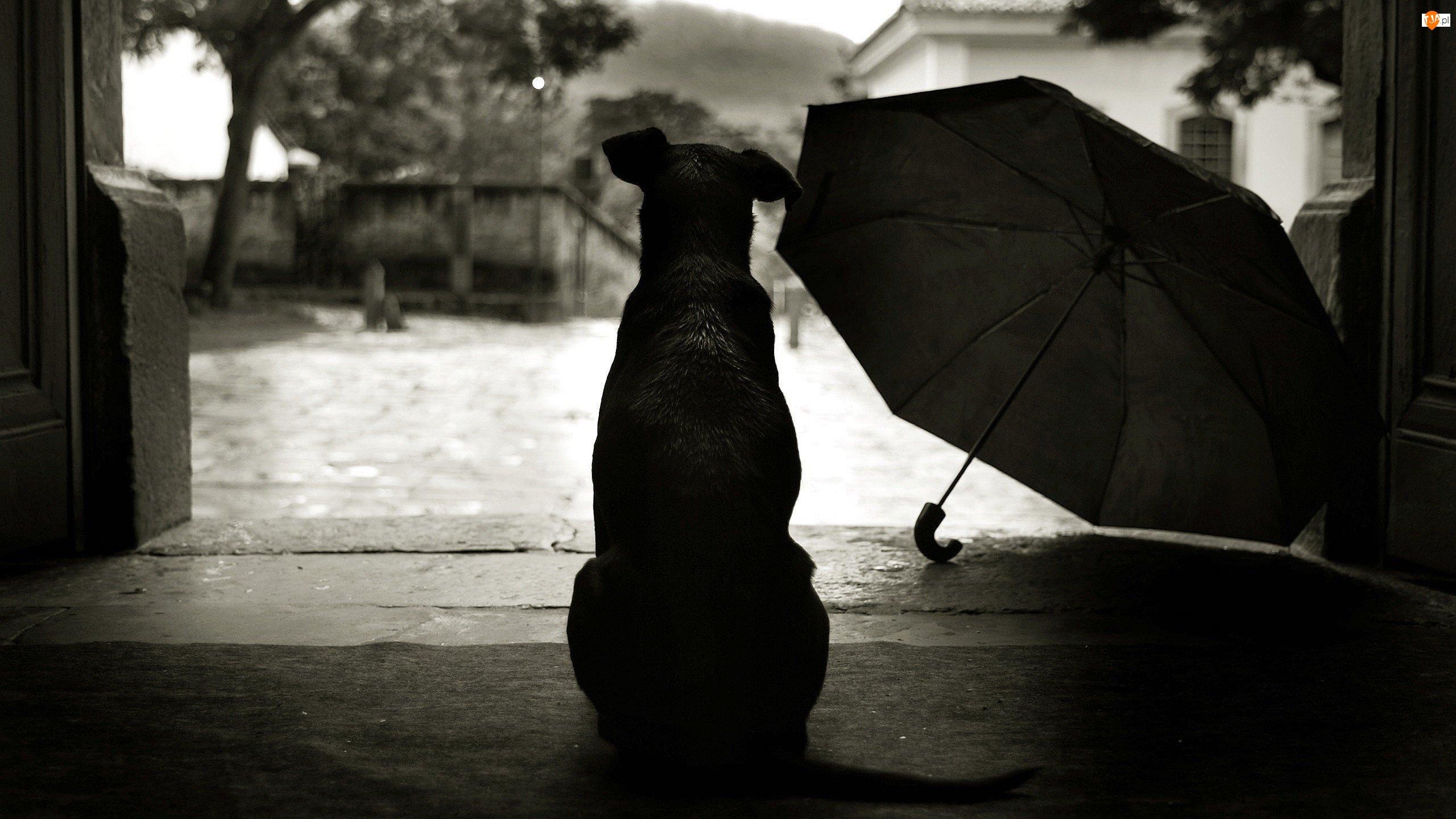 Pies, Parasol