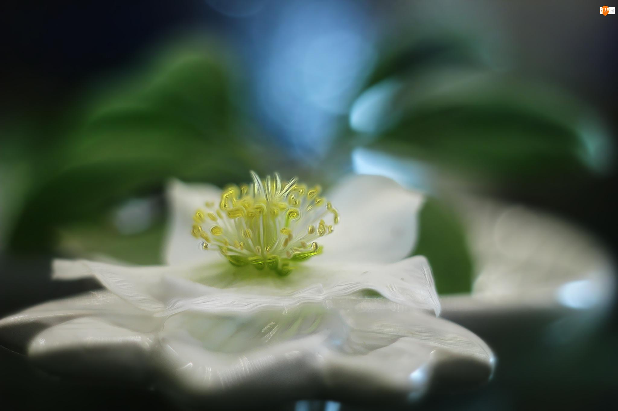 Ciemiernik, Grafika, Biały, Kwiat