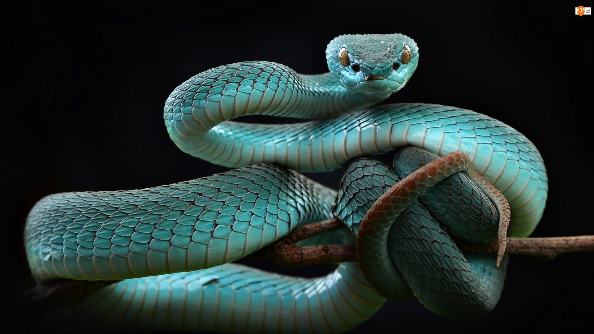 Trimeresurus insularis, Niebieska, Żmija