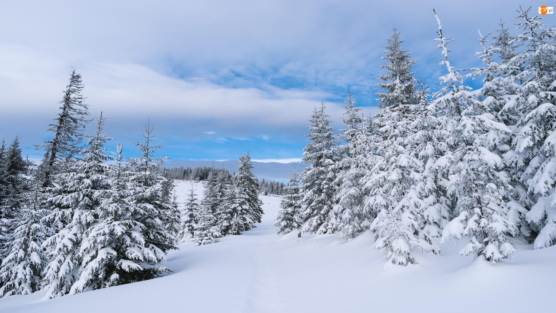 Las, Chmury, Wzgórza, Zima, Świerki