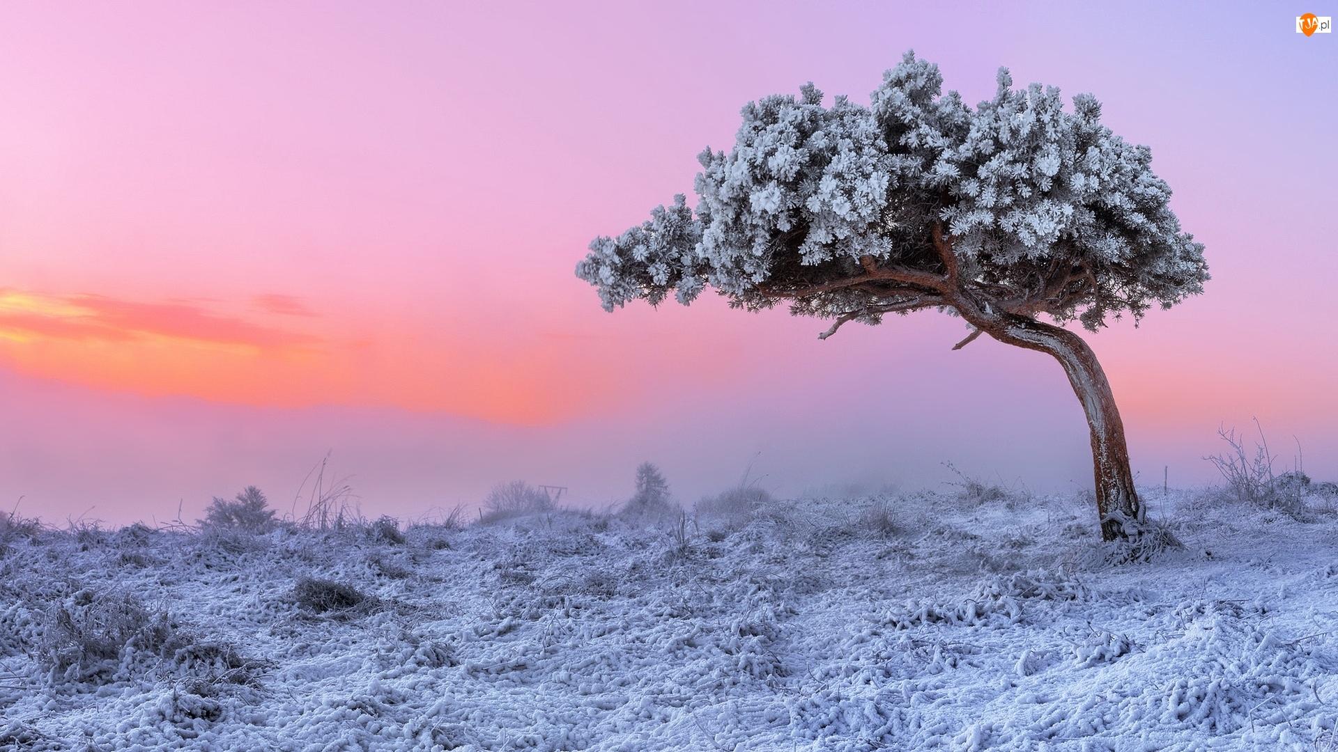 Drzewo, Zachód słońca, Oszronione, Zima, Sosna
