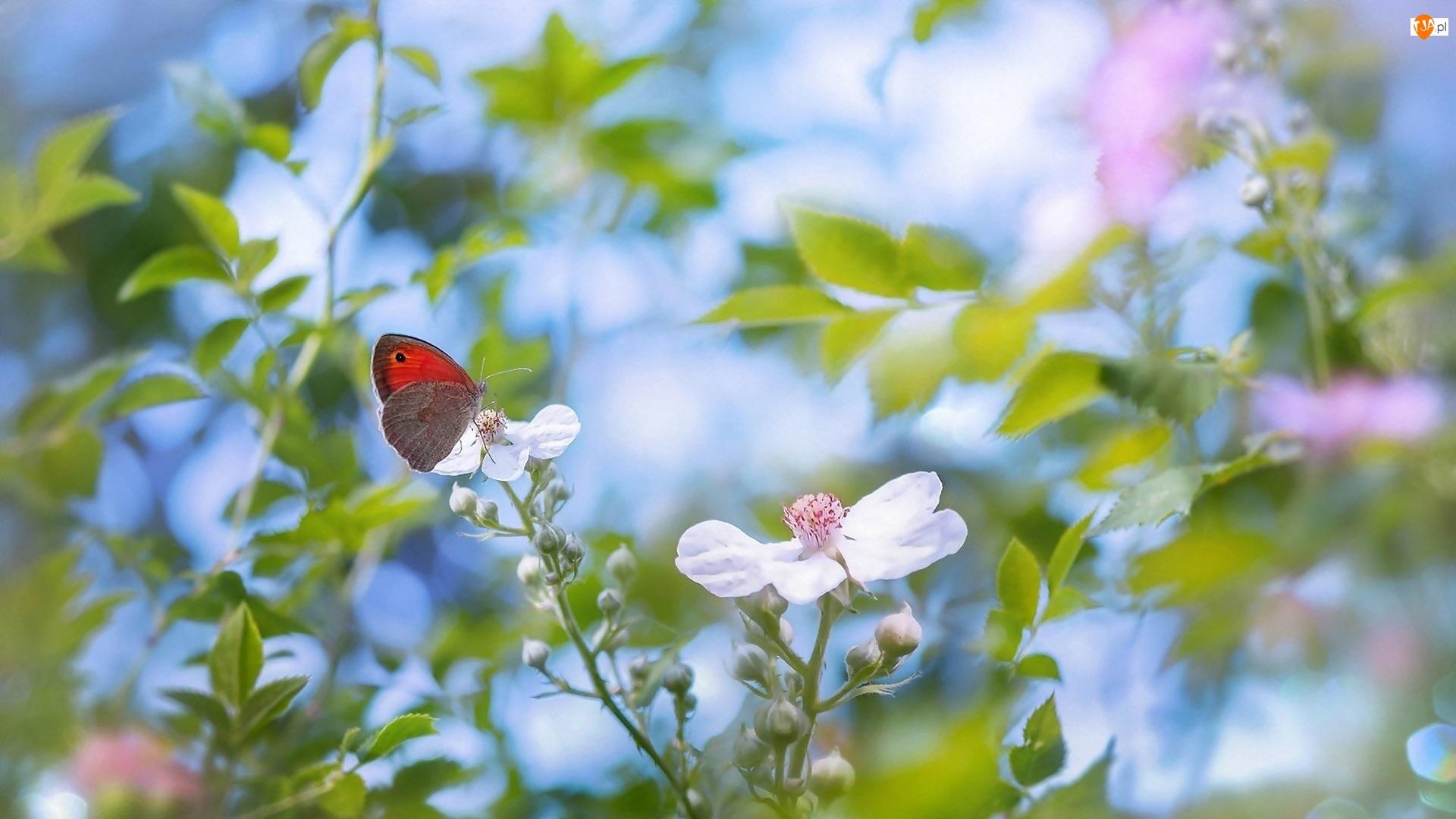 Motyl, Rozmyte tło, Kwiaty, Białe, Przestrojnik titonus
