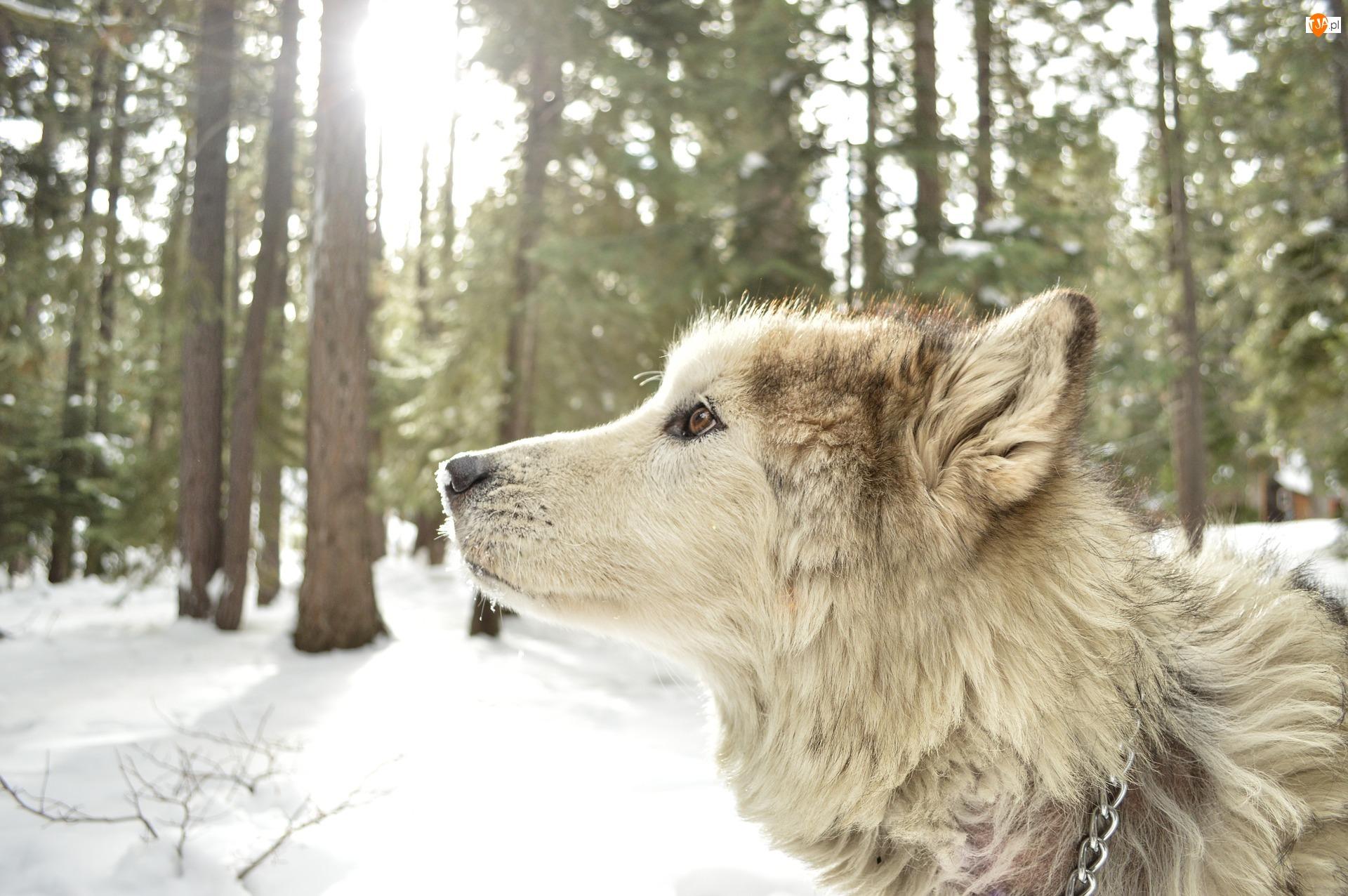 Profil, Zima, Głowa, Pies, Las