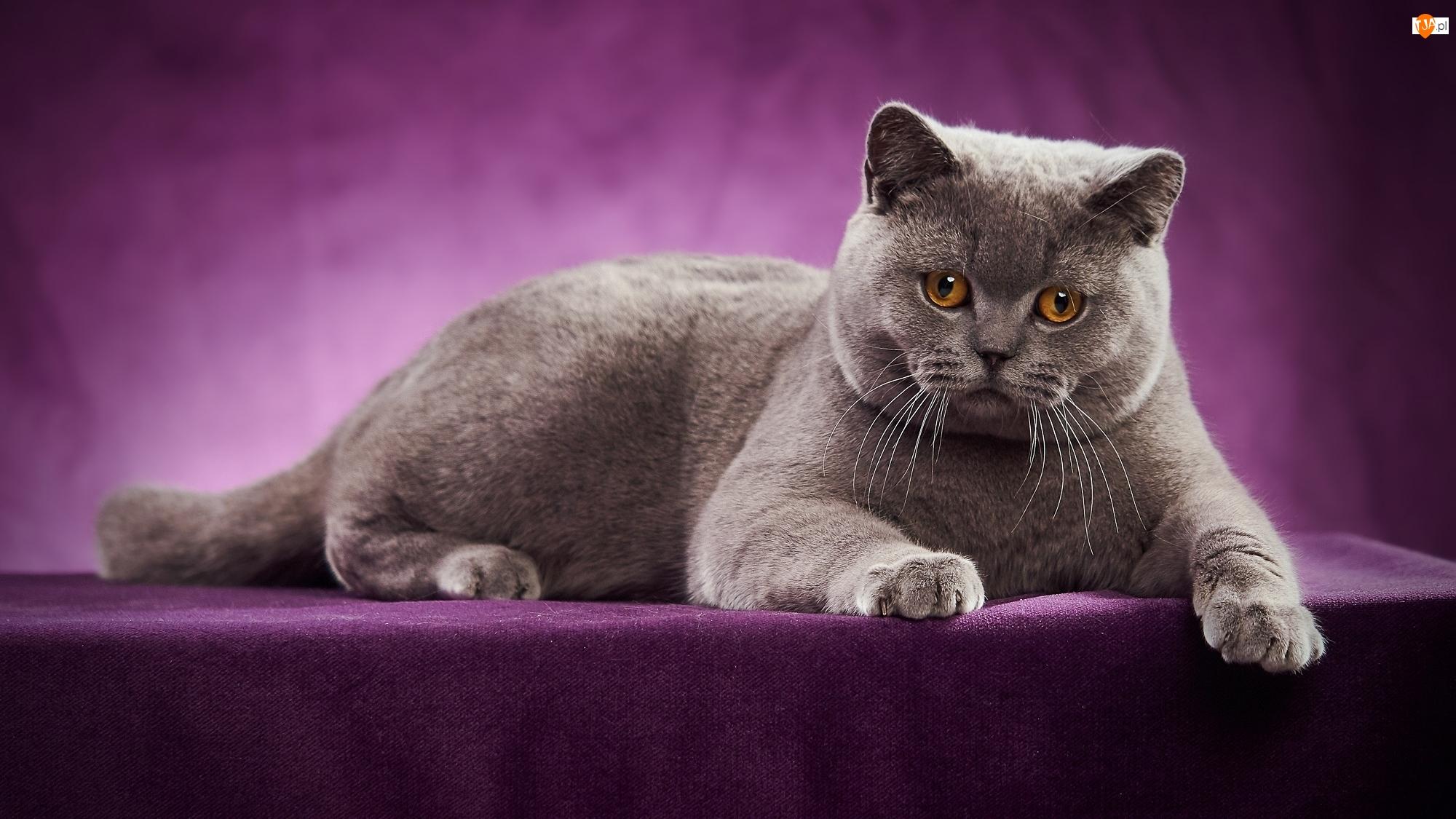 Fioletowe tło, Leżący, Kot brytyjski krótkowłosy