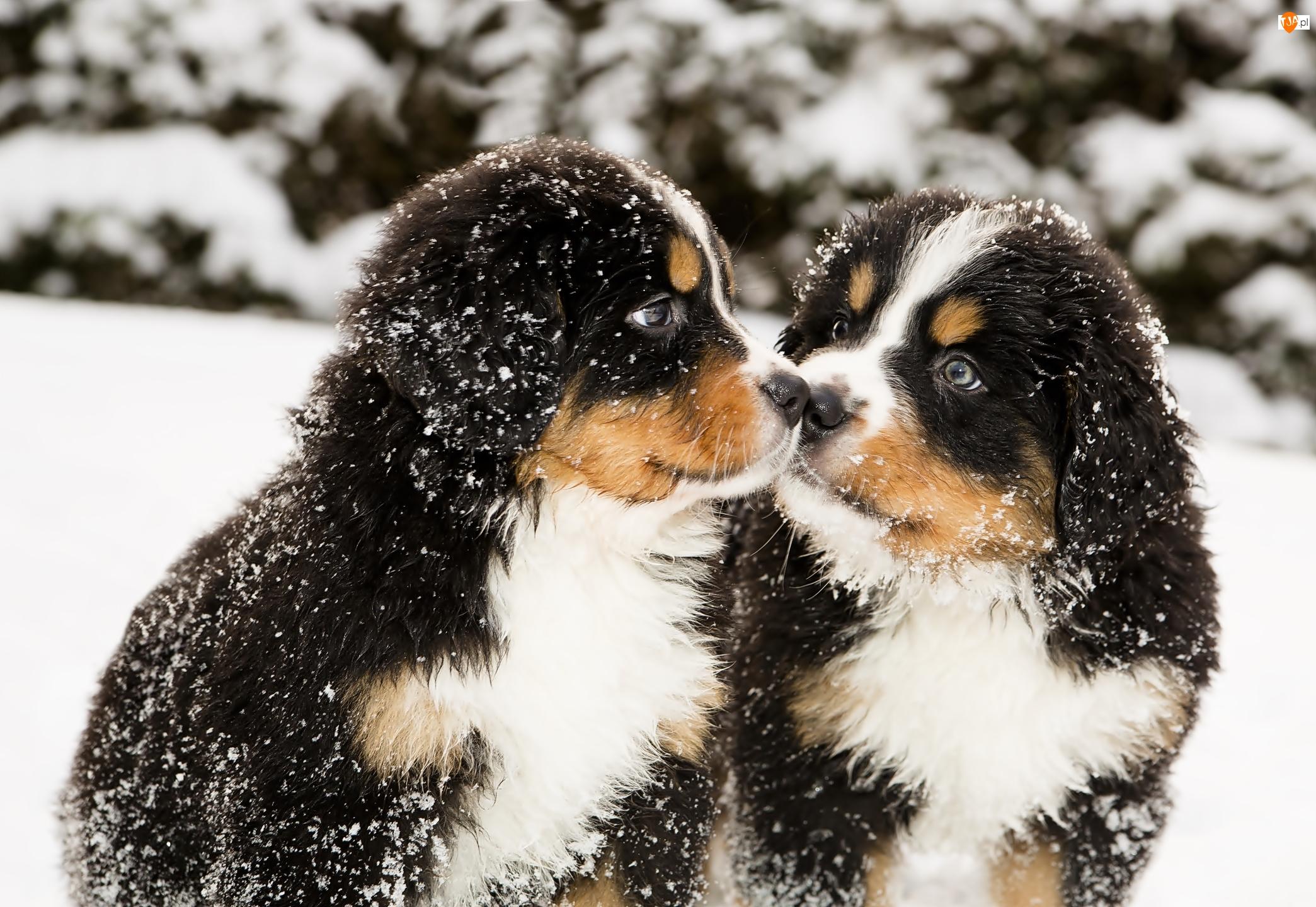 Psy, Dwa, Szczeniaki, Zima, Berneńskie psy pasterskie, Śnieg
