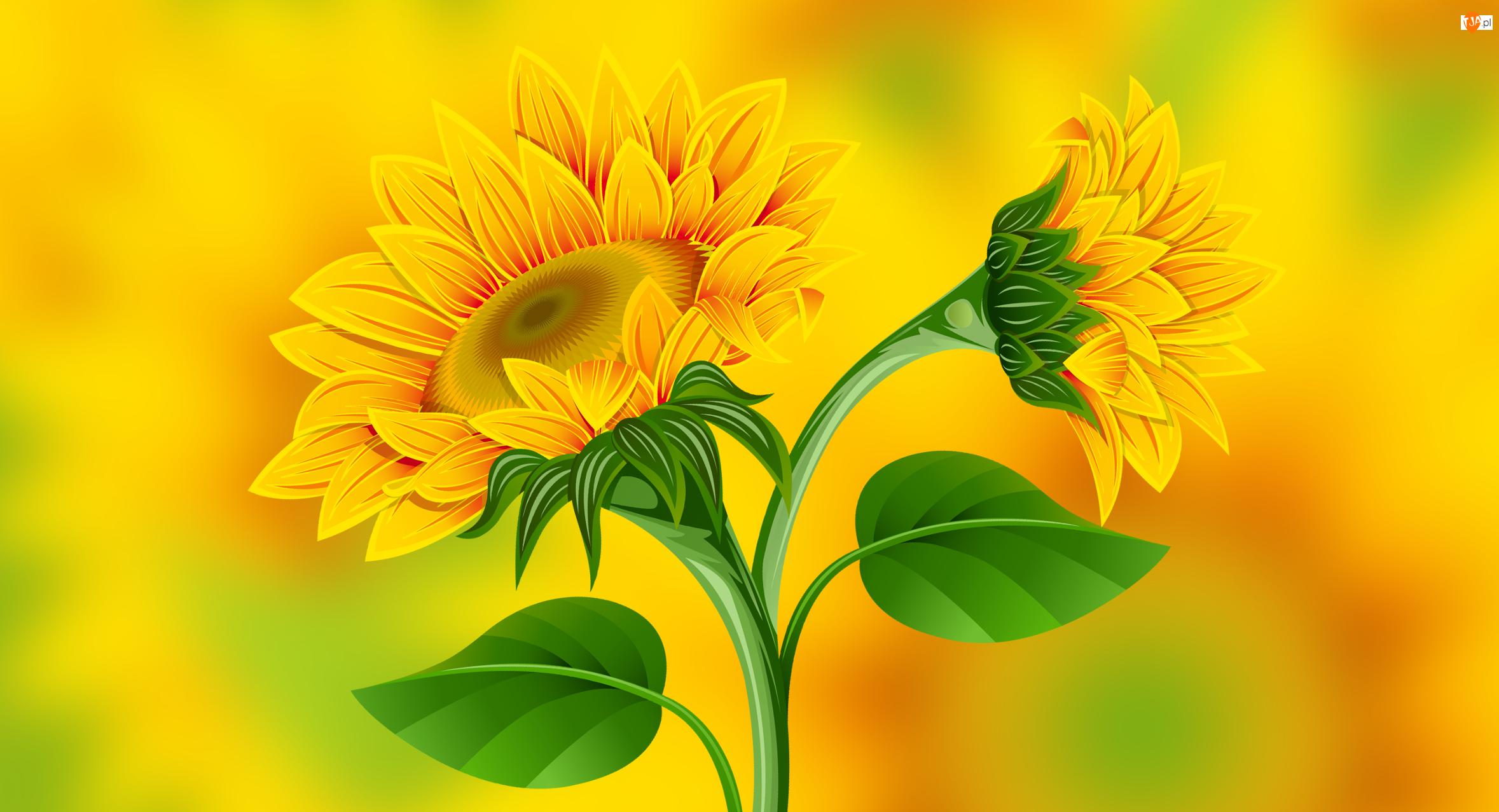 Tło, Słoneczniki ozdobne, Żółte
