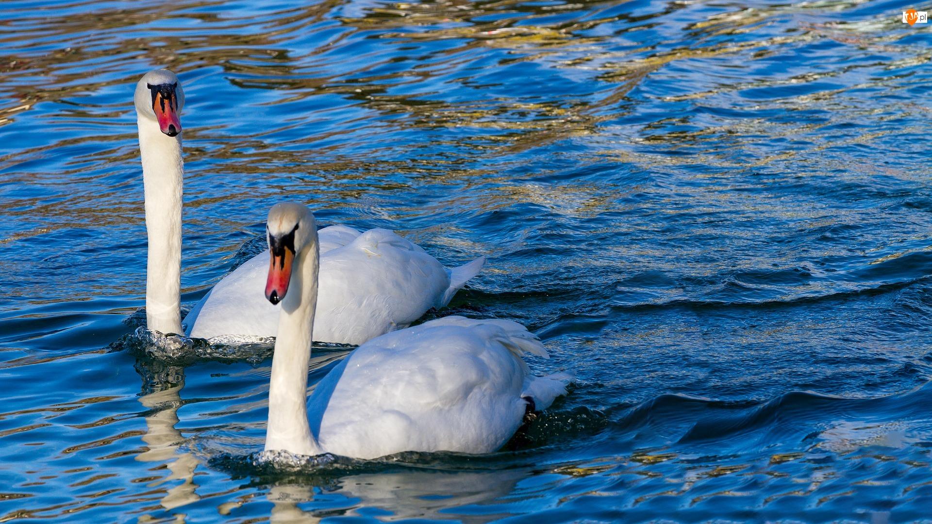 Dwa, Ptaki, Białe, Woda, Łabędzie, Para