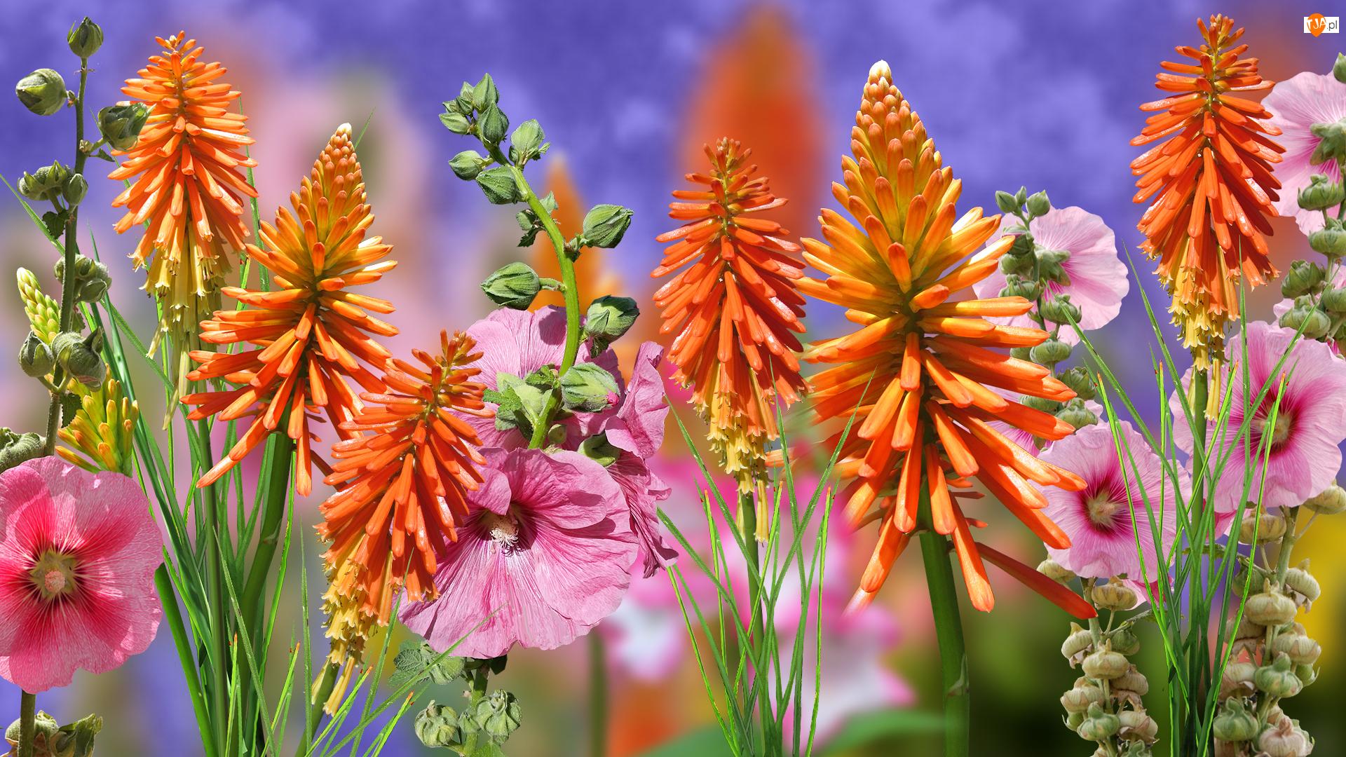 Trytoma groniasta, Kwiaty, Malwy