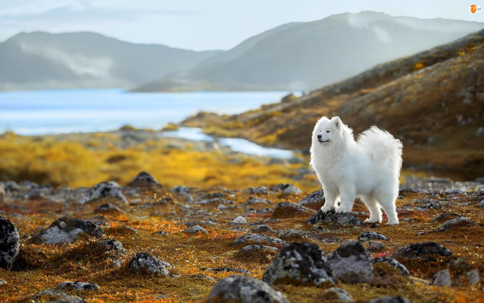 Pies, Biały, Góry, Kamienie, Samojed, Jezioro