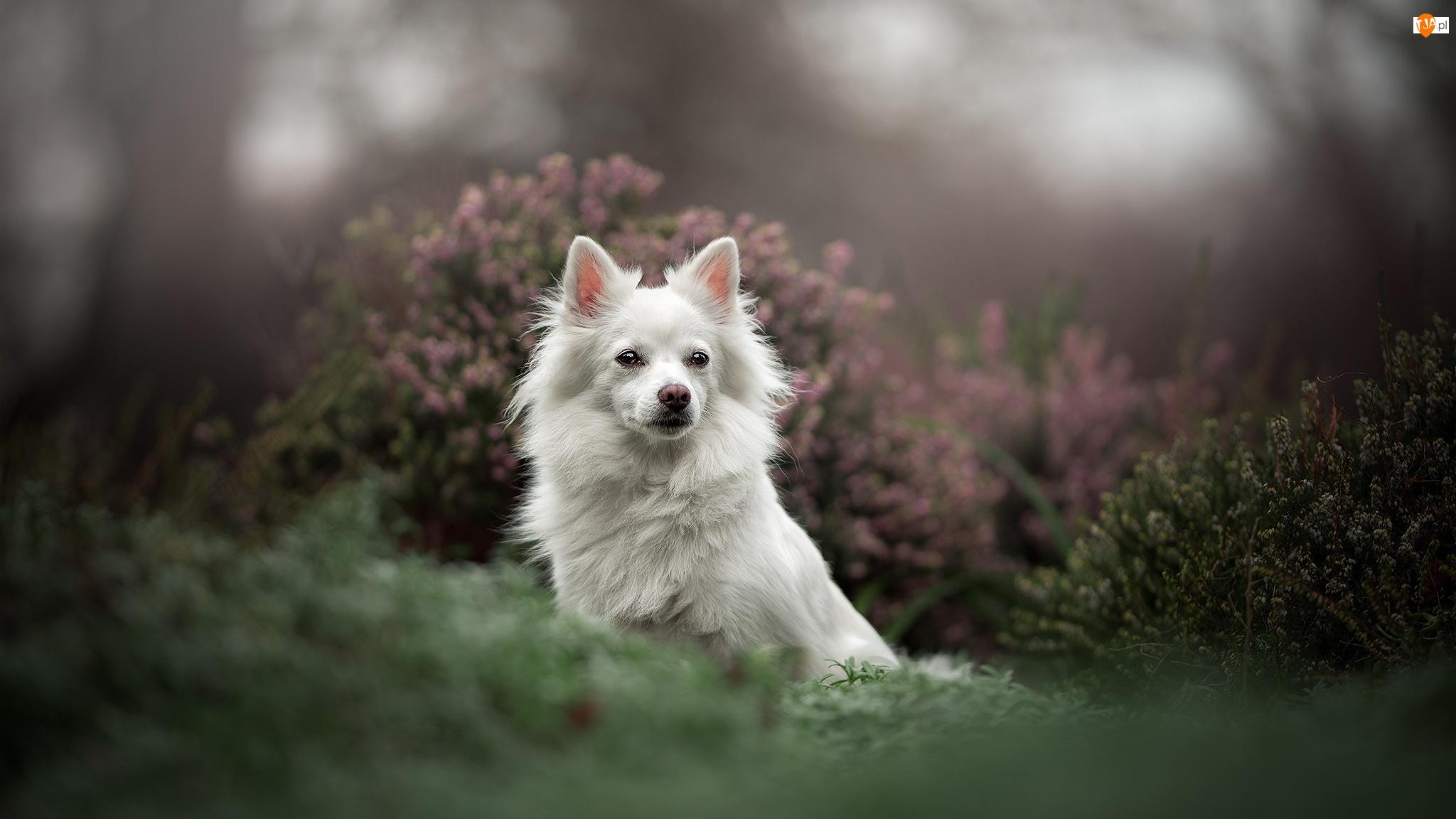 Pies, Biały, Mordka, Wrzosy, Szpic japoński, Rozmyte