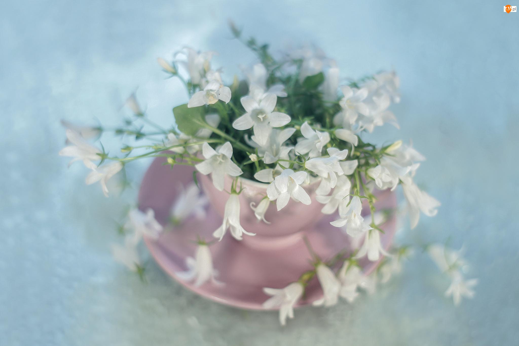 Kwiaty, Dzwonek dalmatyński, Campanula, Białe