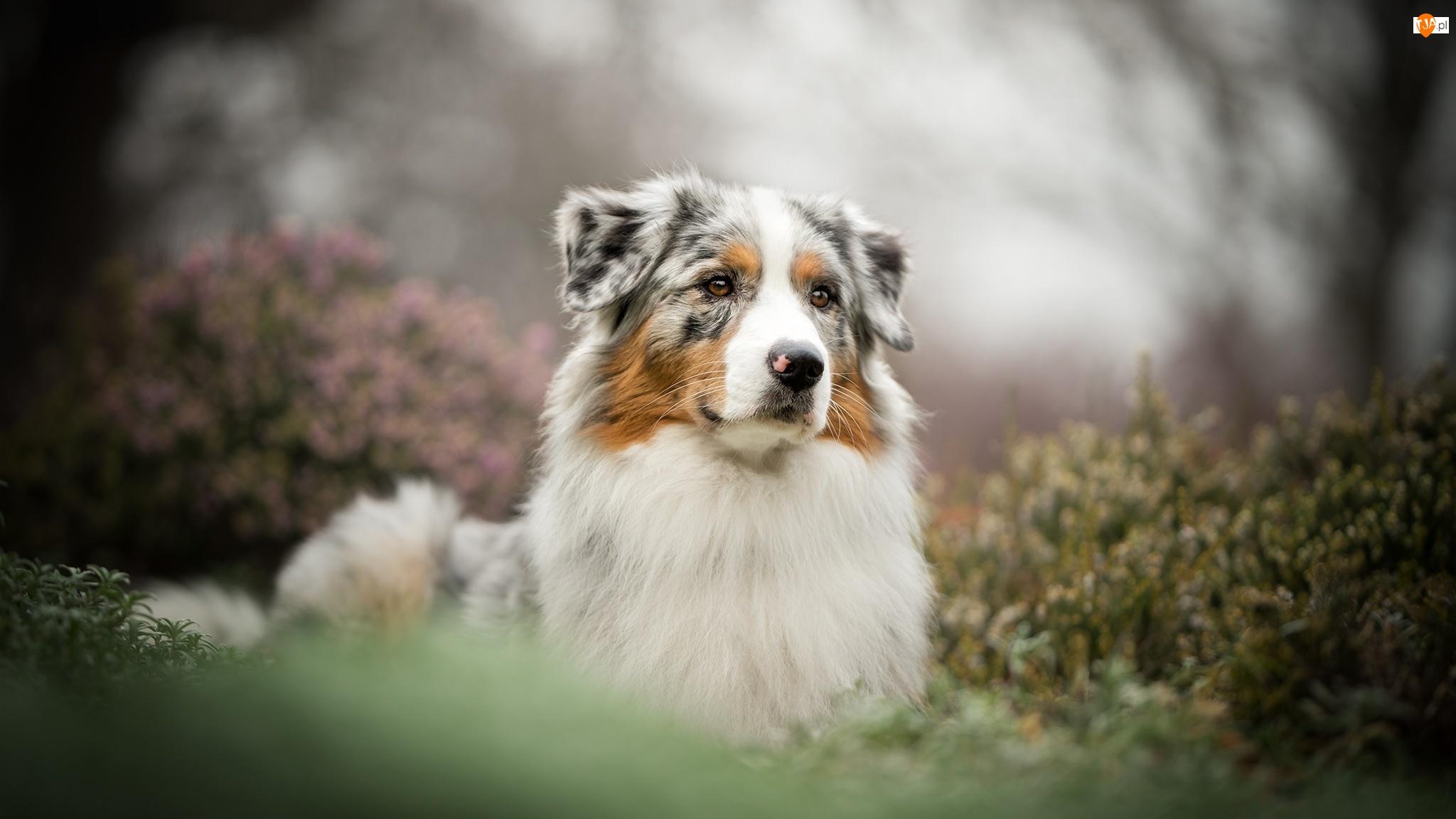 Mordka, Bokeh, Owczarek australijski, Pies, Rośliny