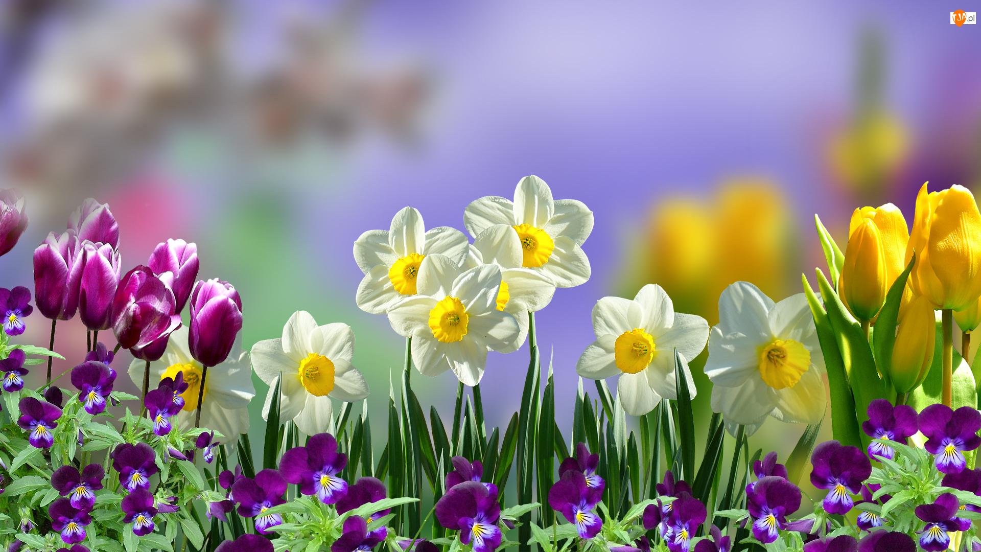Bratki y, Kwiaty, Narcyzy, Tulipany