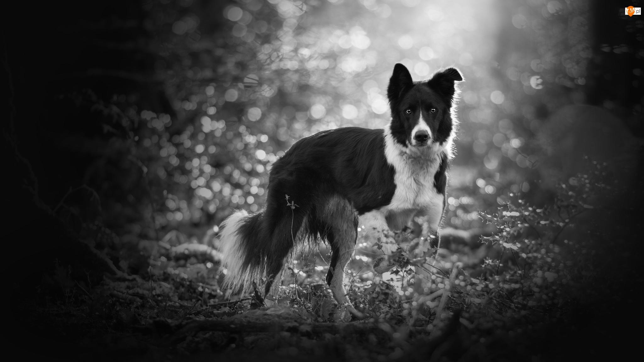 Bokeh, Pies, Border collie, Rośliny