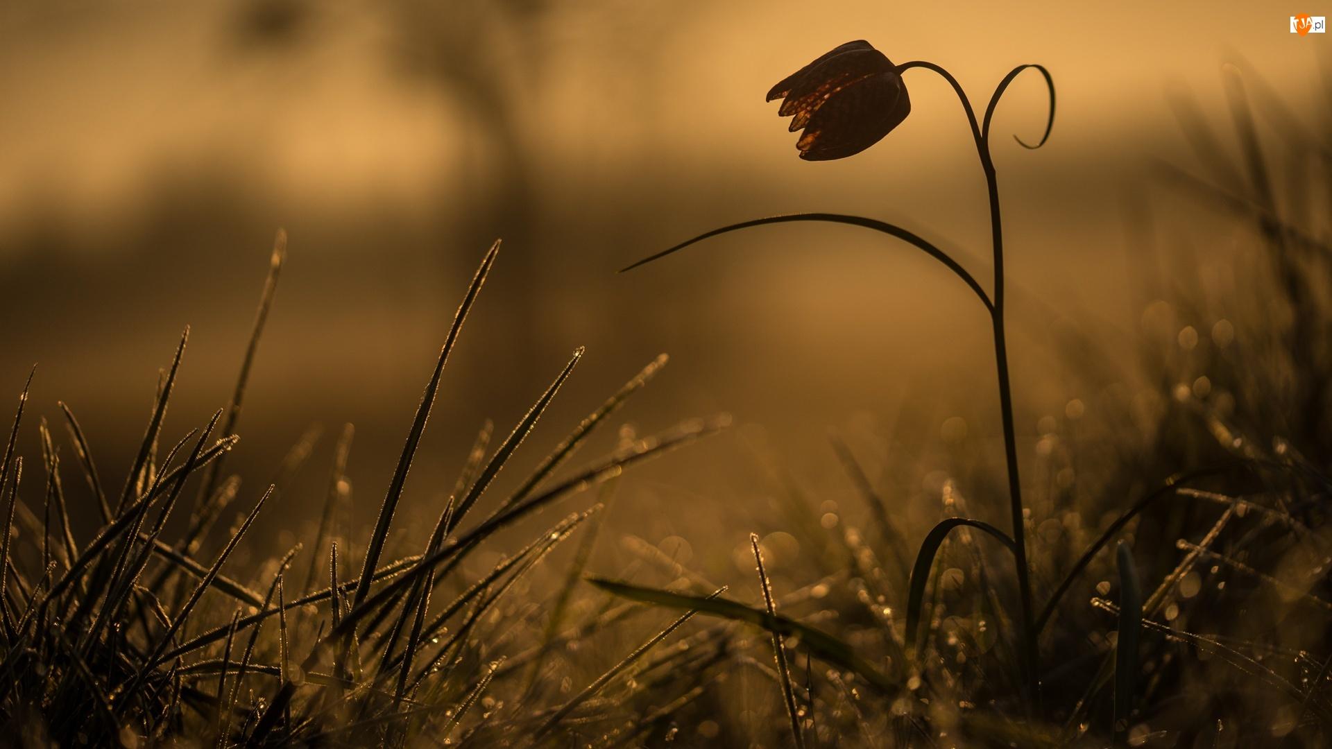 Szachownica kostkowata, Kwiat, Rosa, Tło, Trawa, Rozmyte