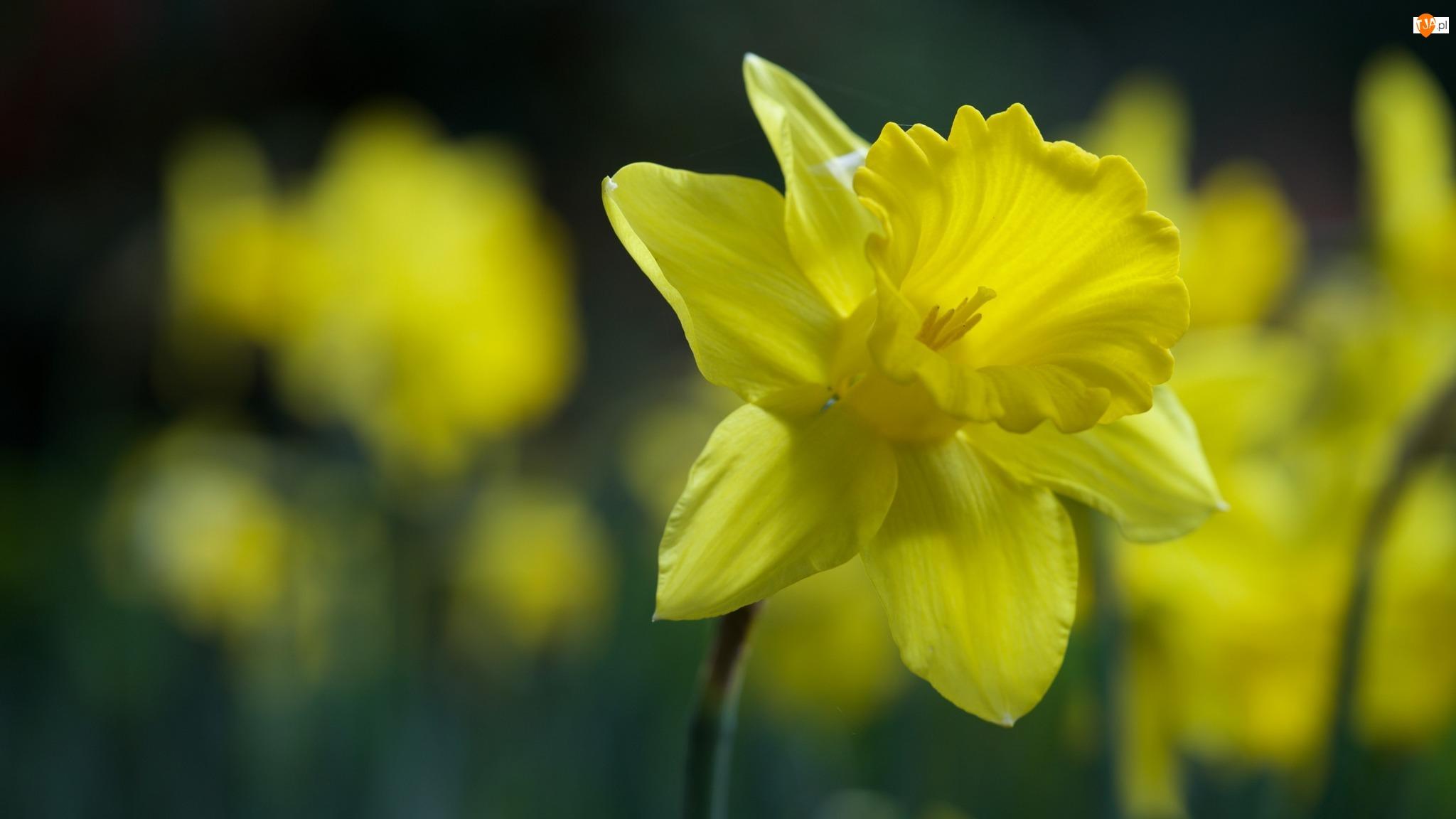 Rozmyte tło, Żółty, Kwiat, Żonkil