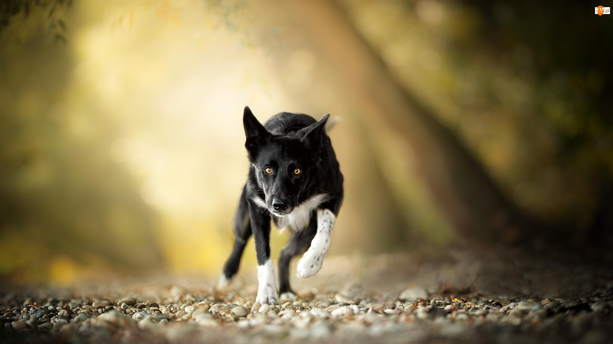 Biegnący, Pies, Kamienie, Tło, Border collie, Rozmyte