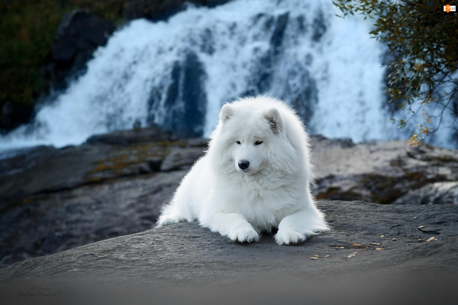 Wodospad, Biały, Pies, Samojed
