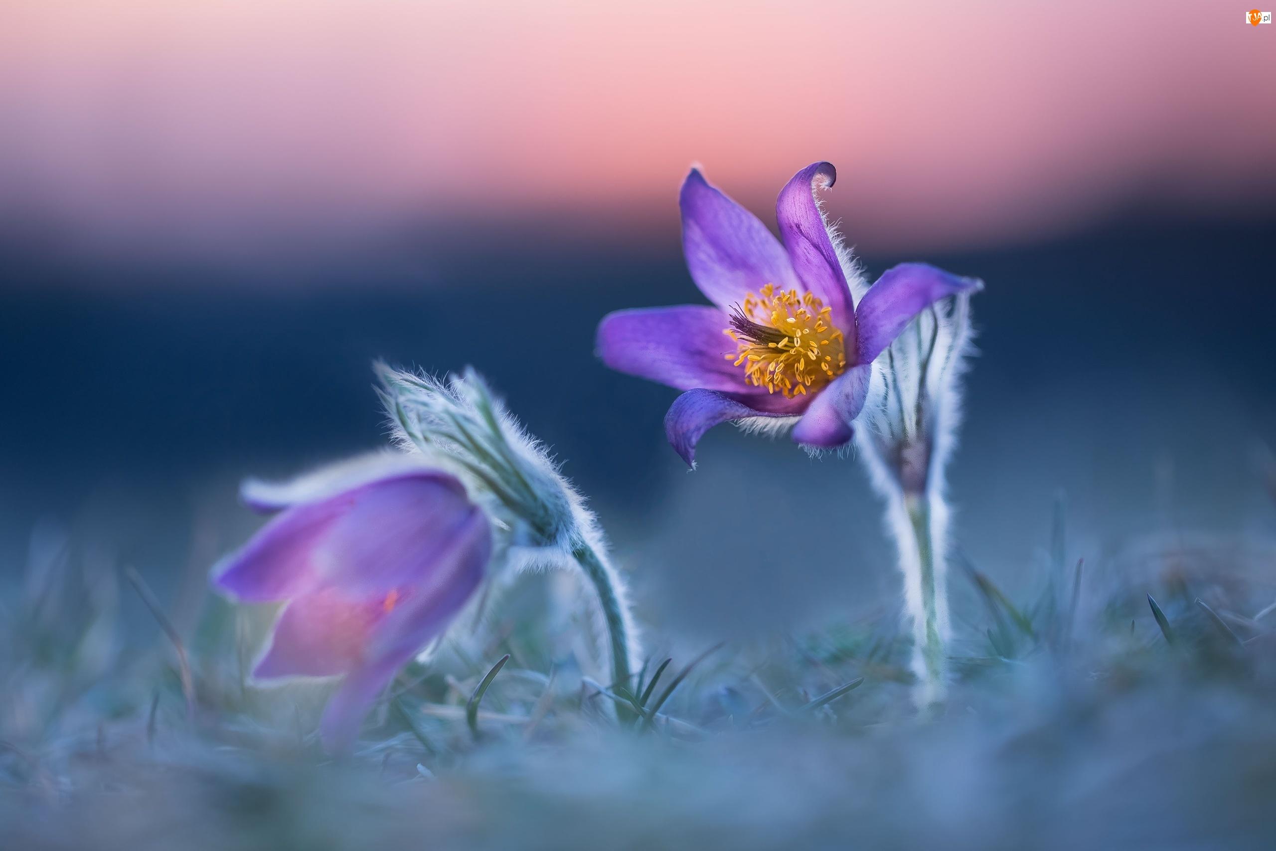 Sasanki, Kwiaty, Dwie