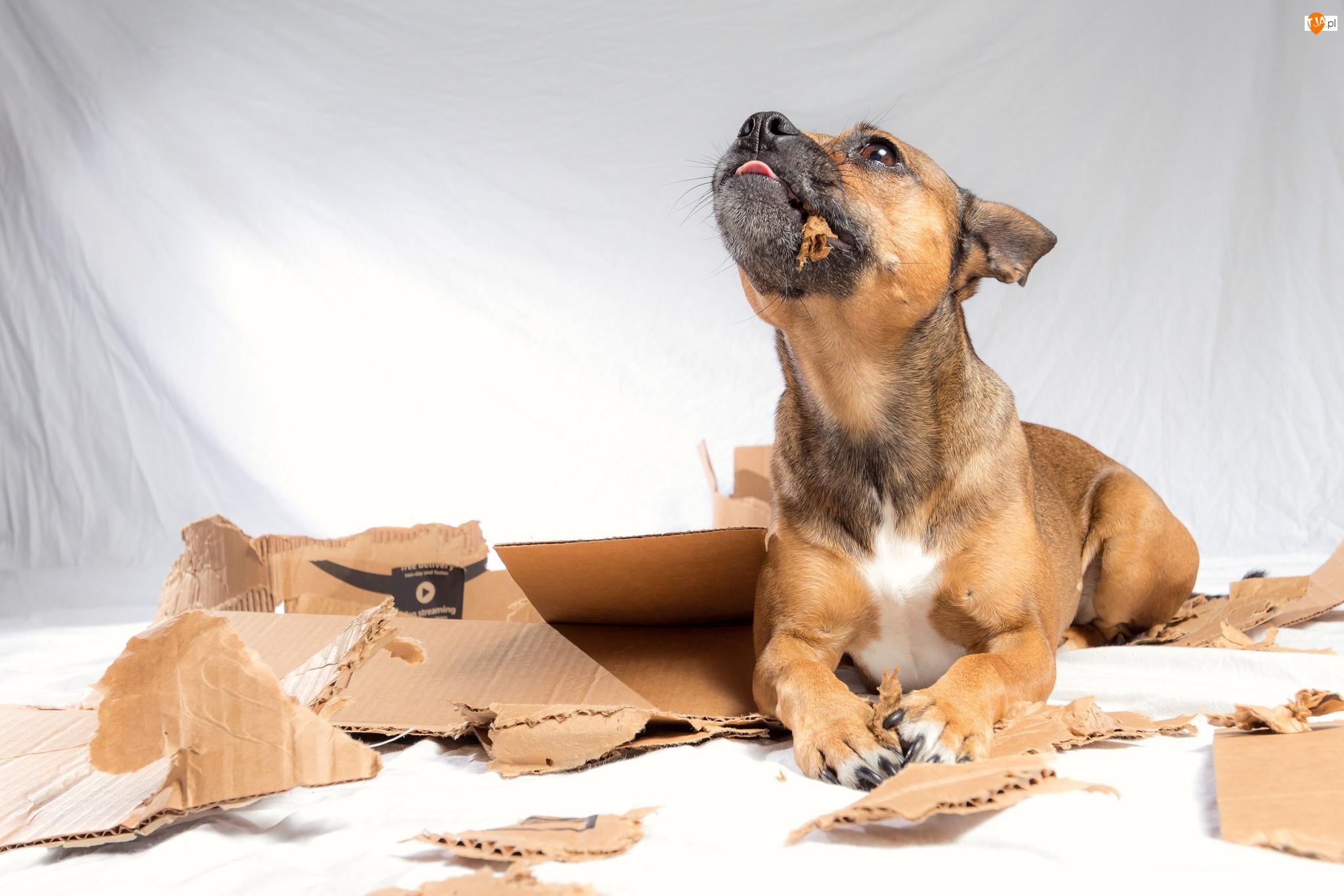 Karton, Pies, Szczeniak, Potargany