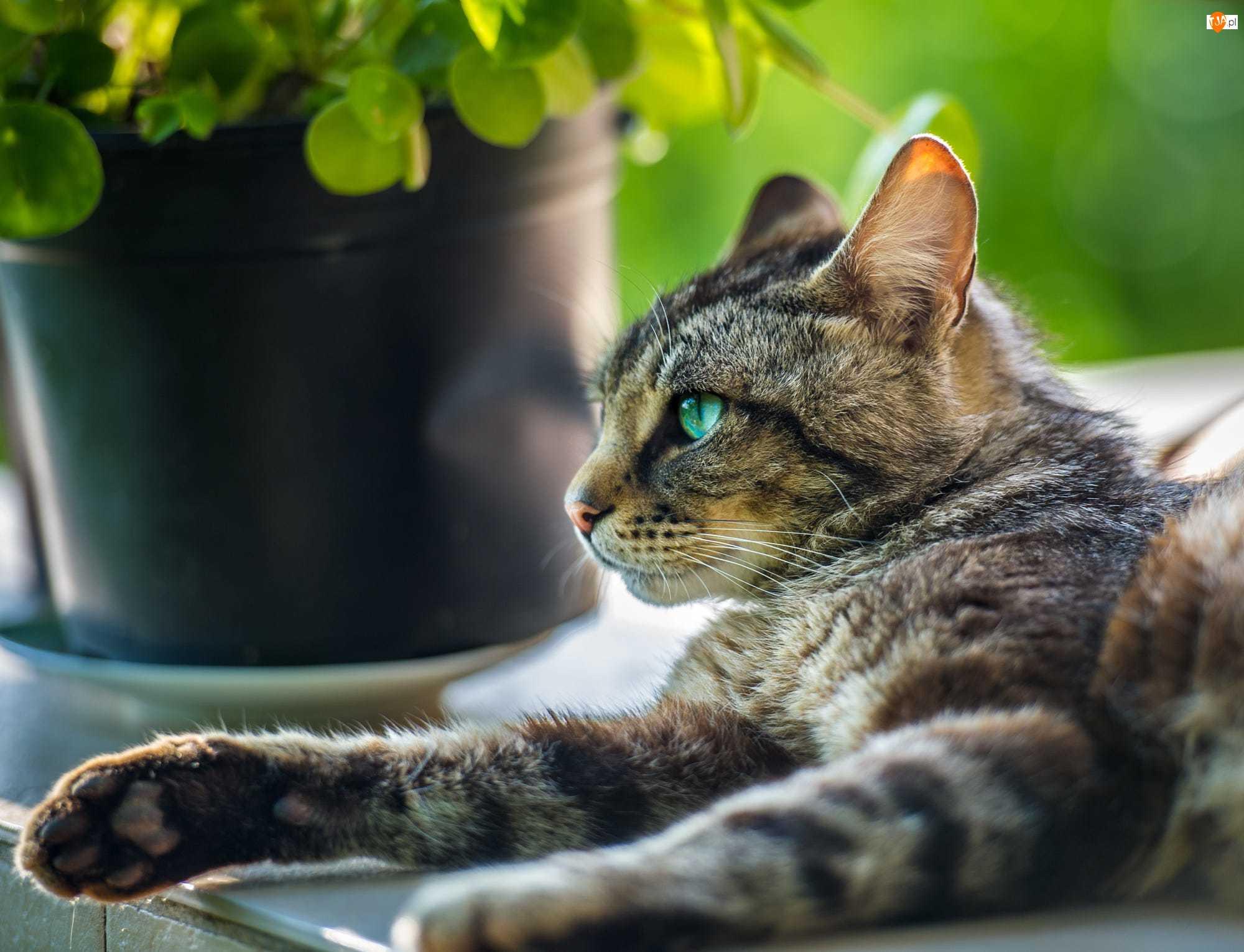 Kot, Leżący, Doniczka, Rozmycie, Szafka, Kwiat