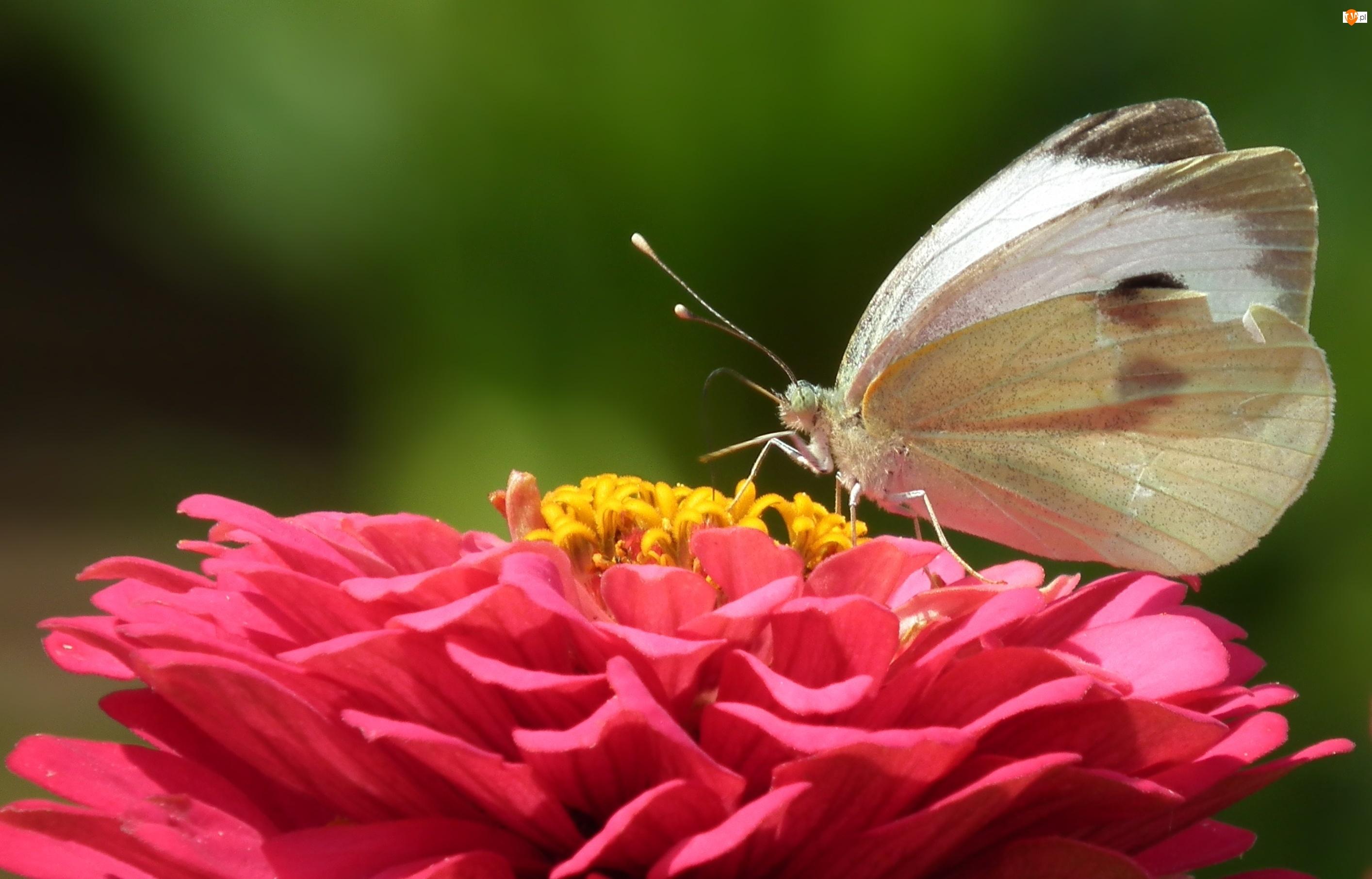 Cynia, Motyl, Bielinek, Kwiat