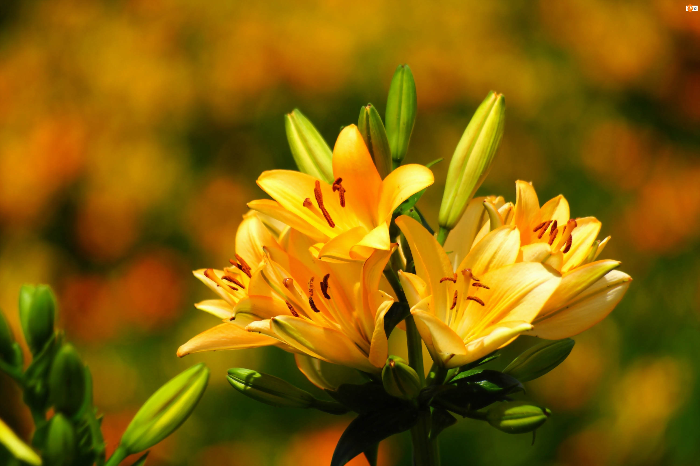 Lilie, Żółte