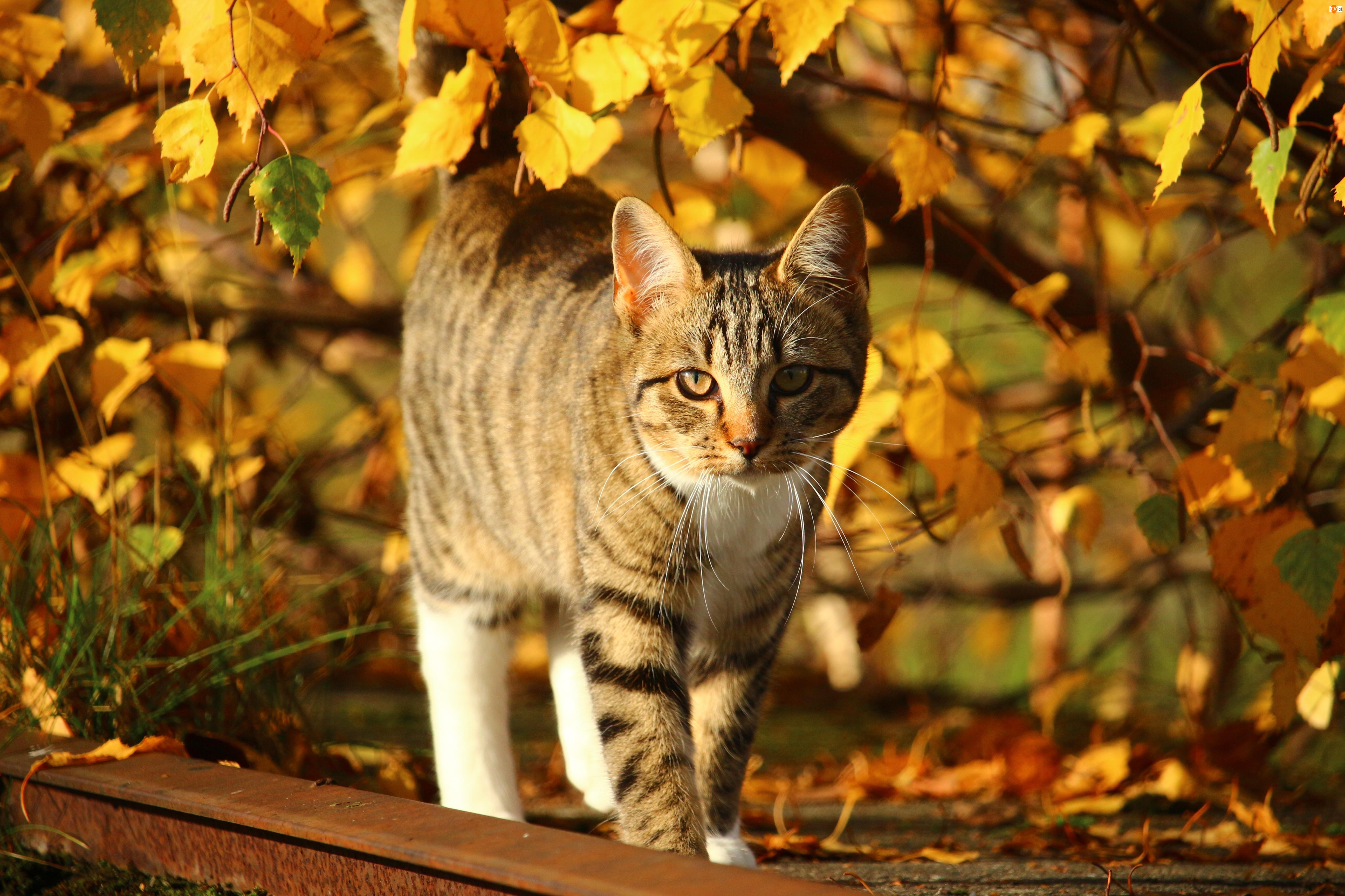 Jesień, Liście, Kot, Pręgowany, Kolorowe