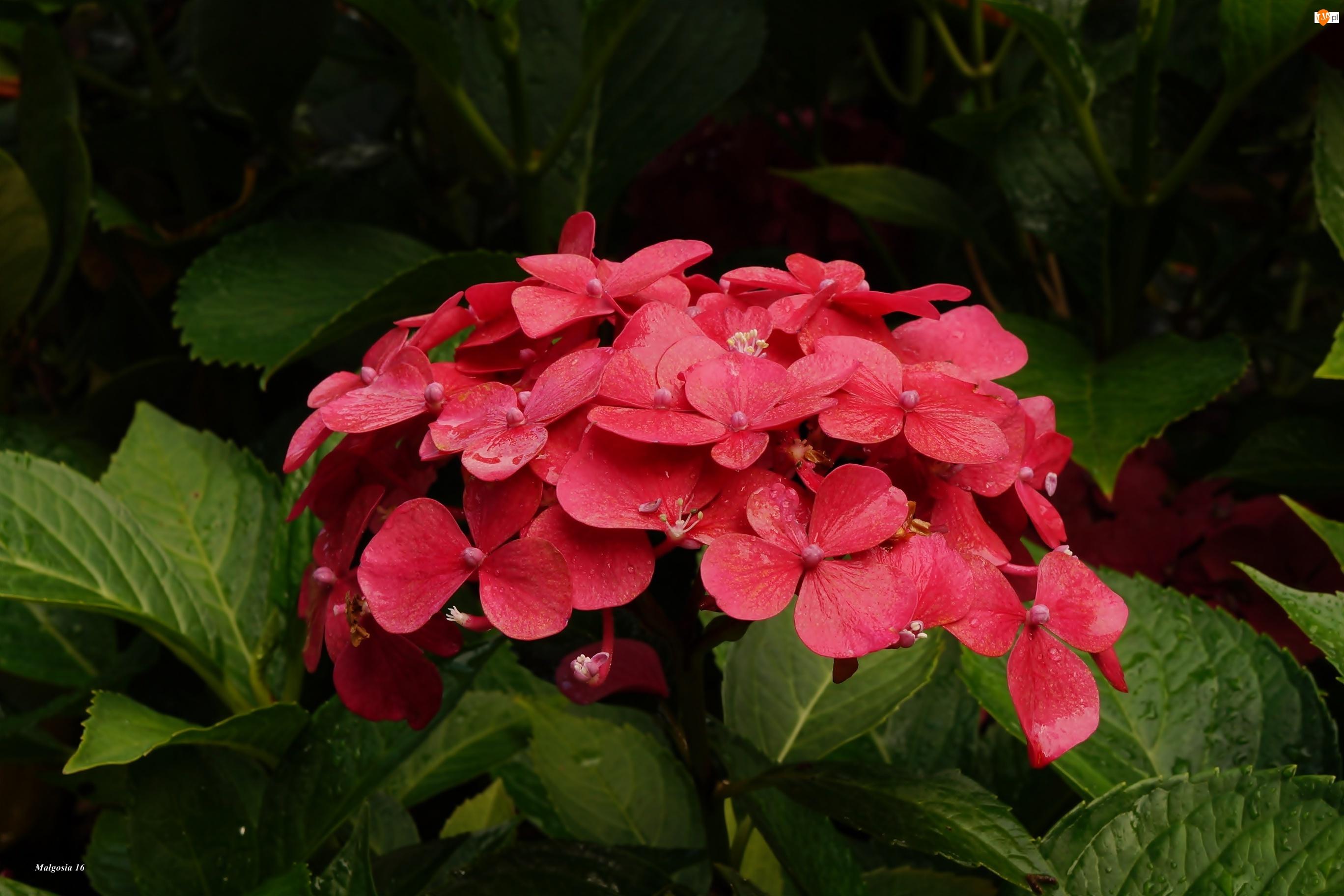 Czerwona, Hortensja