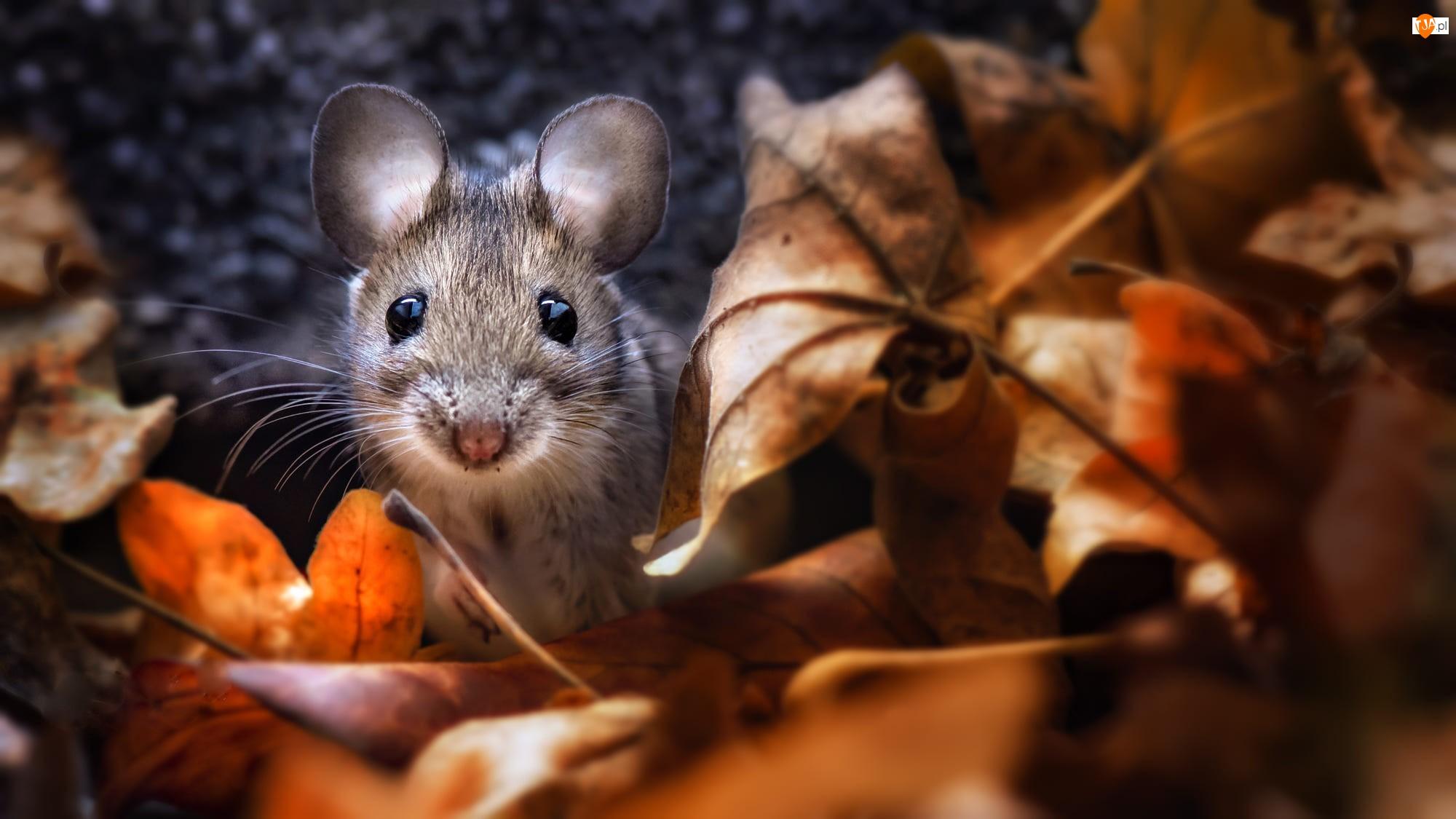 Liście, Mysz