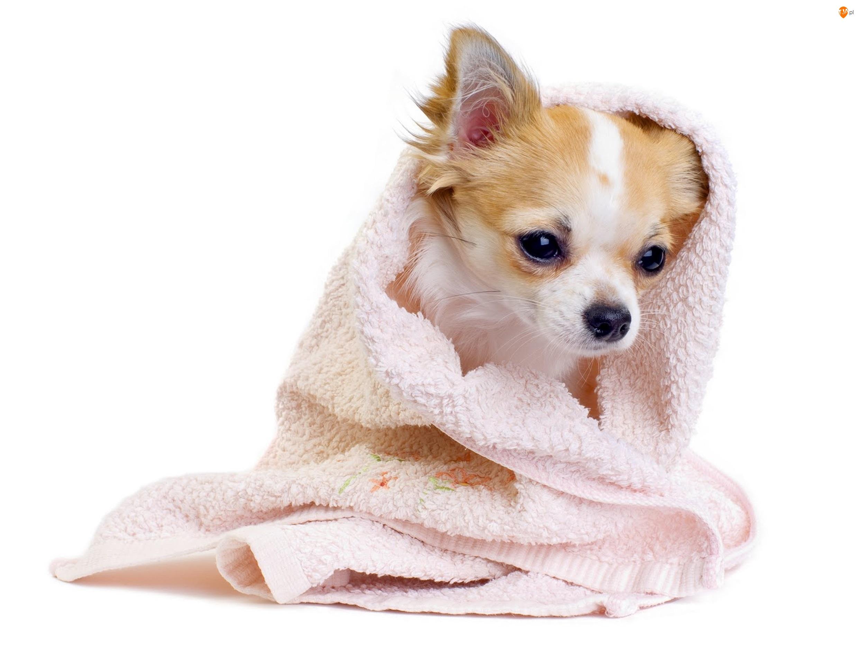 Chihuahua, Słodki, Pies, Szczeniak